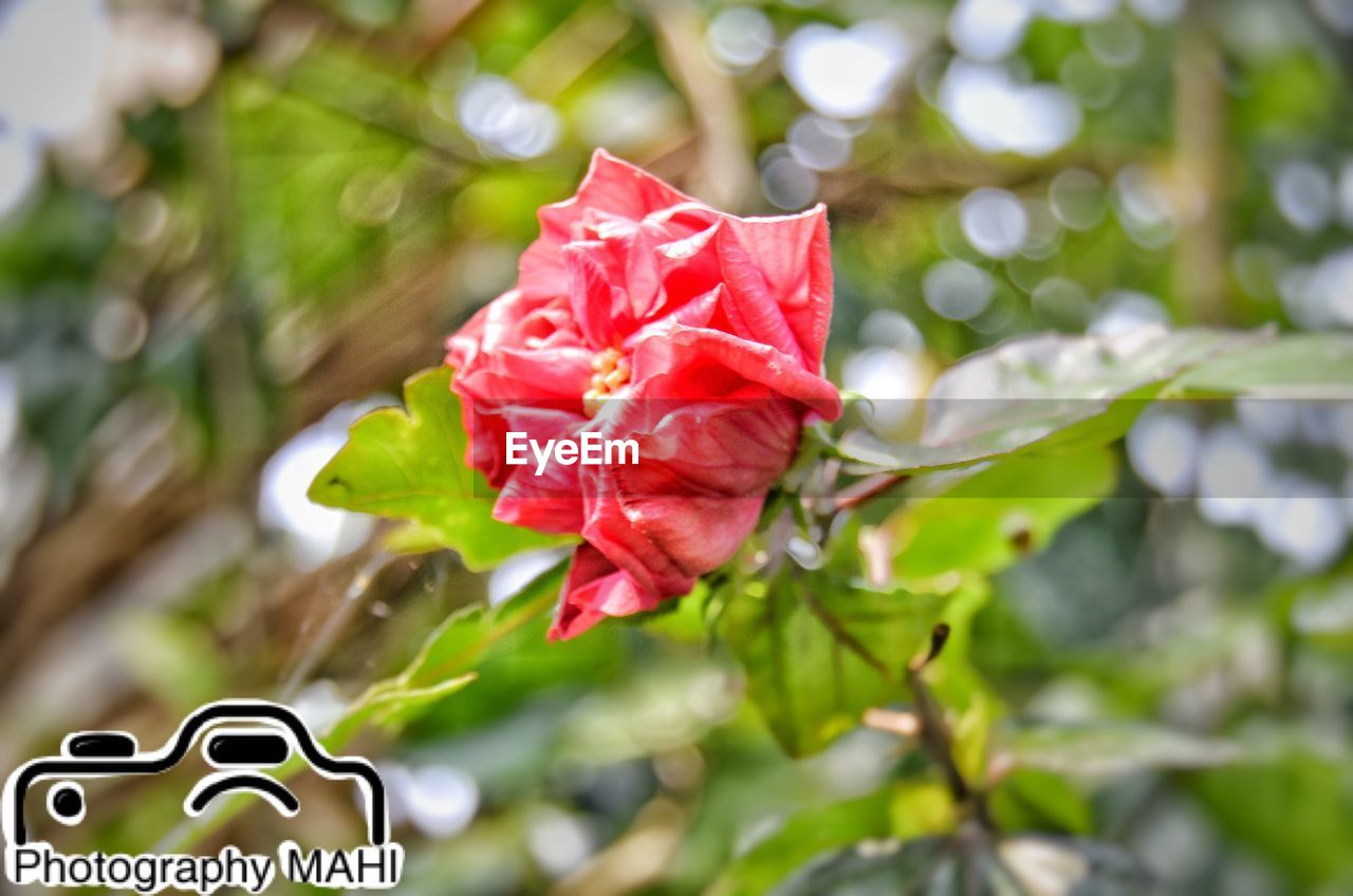 flower, petal, nature, fragility, growth, no people, day, rose - flower, freshness, beauty in nature, flower head, leaf, close-up, focus on foreground, outdoors, green color, plant, red