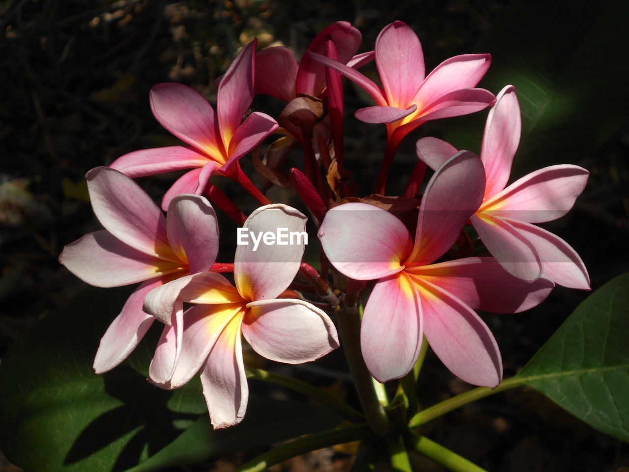 flower, petal, growth, beauty in nature, nature, plant, fragility, freshness, flower head, no people, outdoors, blooming, day, close-up, frangipani