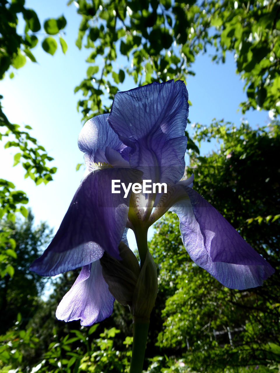 plant, flowering plant, beauty in nature, petal, vulnerability, growth, flower, freshness, fragility, close-up, flower head, inflorescence, no people, purple, nature, focus on foreground, day, outdoors, iris - plant, tree, sepal