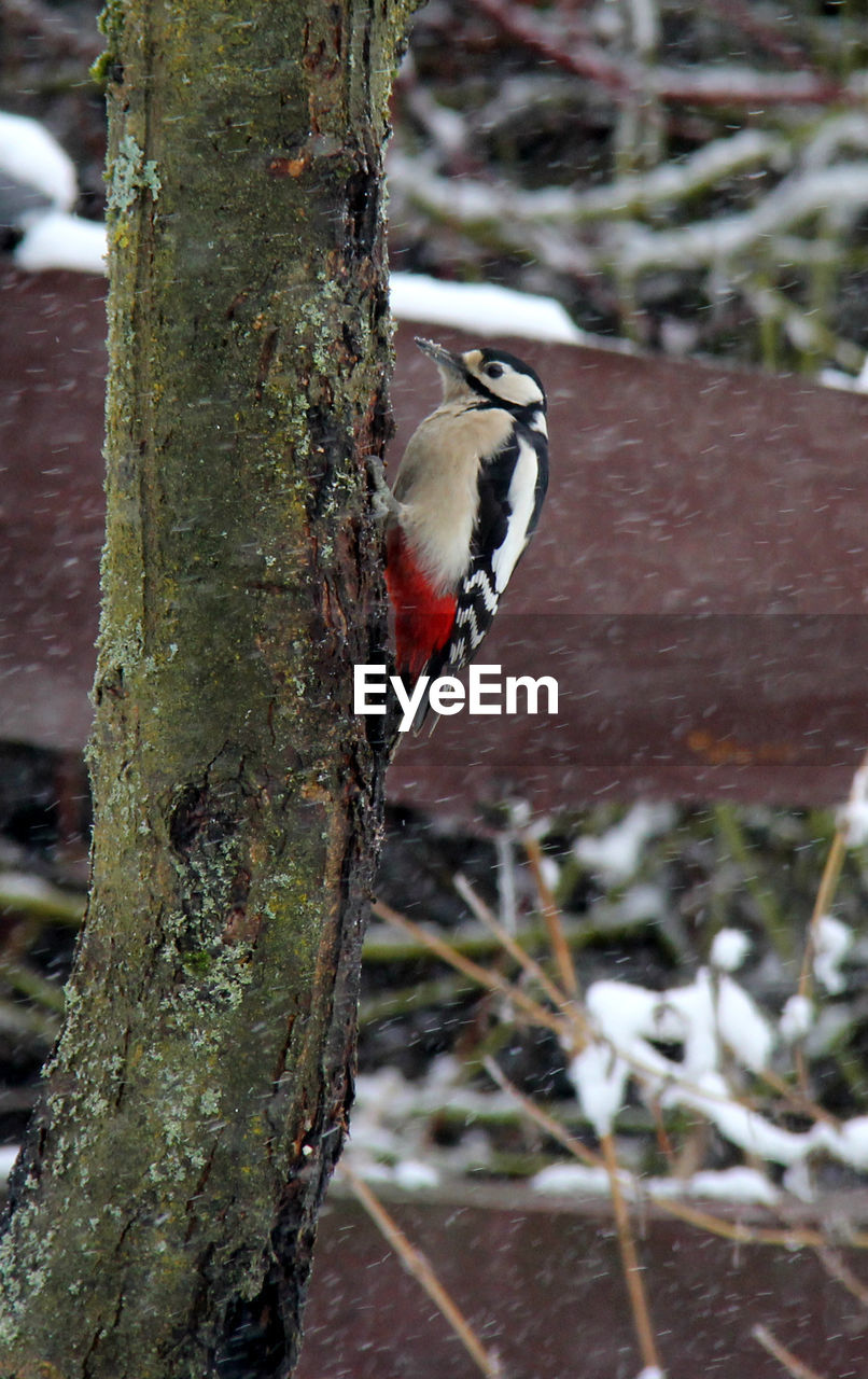 animals in the wild, animal themes, animal wildlife, animal, vertebrate, bird, perching, plant, one animal, tree, trunk, focus on foreground, tree trunk, no people, day, nature, woodpecker, bluetit, outdoors, close-up