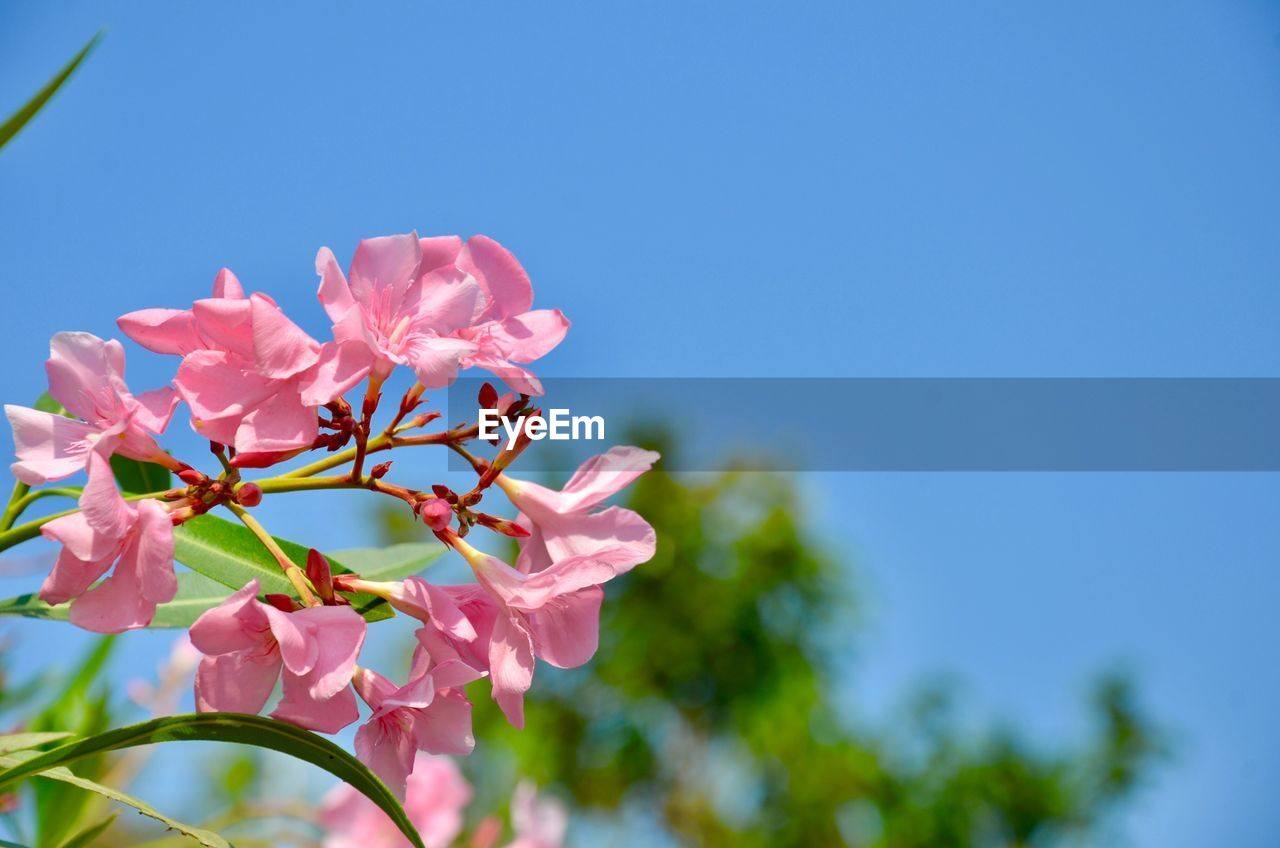 growth, flower, nature, beauty in nature, fragility, pink color, petal, no people, freshness, low angle view, day, outdoors, clear sky, blooming, tree, close-up, flower head, sky