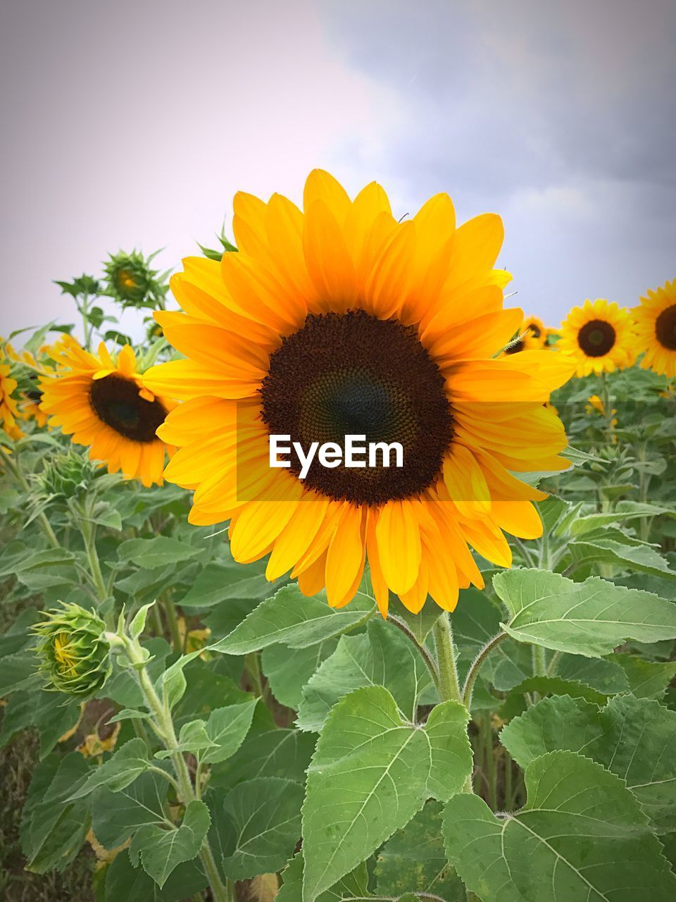 flower, yellow, plant, nature, petal, fragility, sunflower, growth, freshness, beauty in nature, flower head, leaf, botany, no people, field, outdoors, day, close-up, blooming, springtime, sky