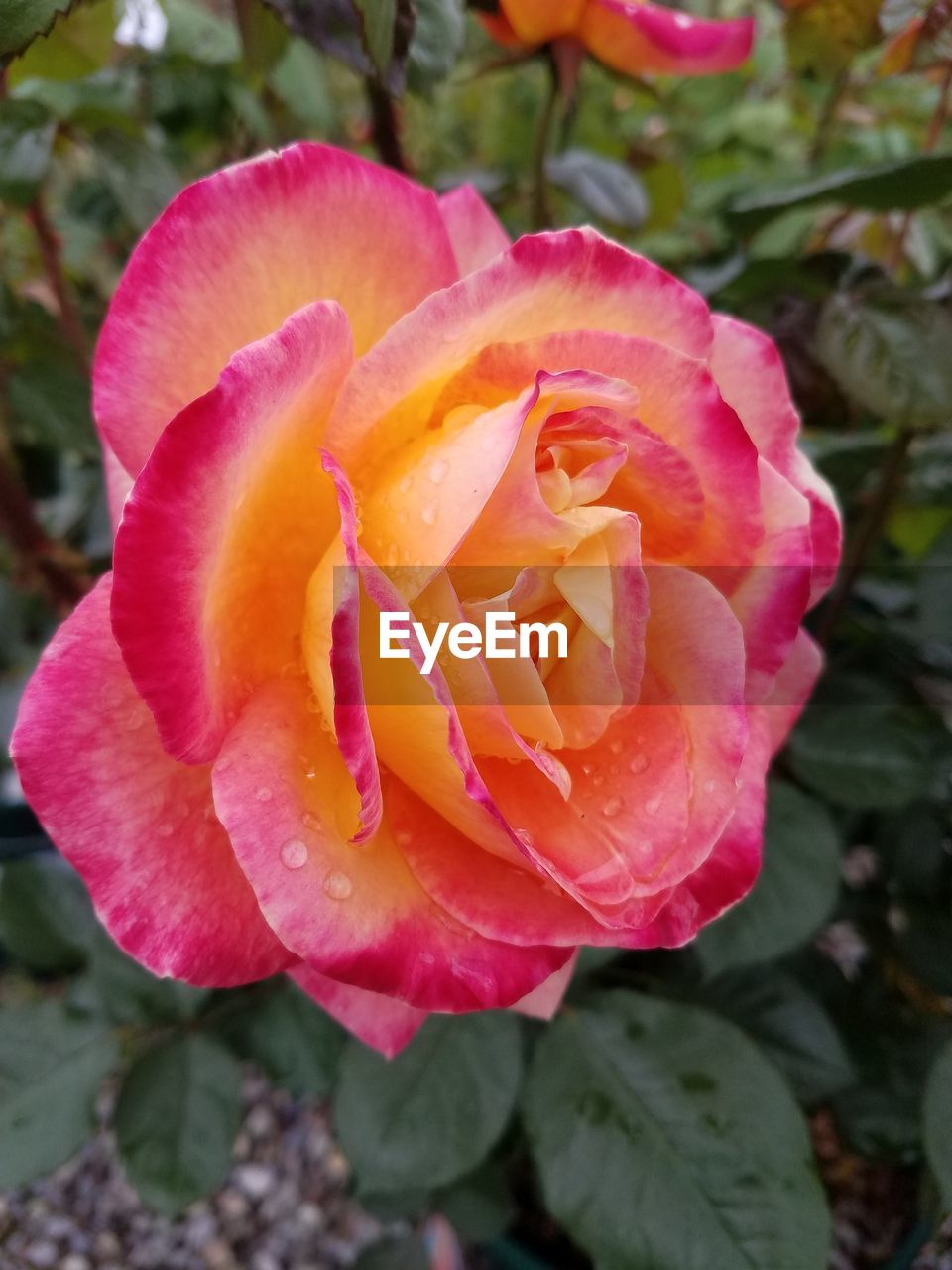 flower, petal, nature, growth, plant, flower head, rose - flower, beauty in nature, no people, fragility, love, pink color, blooming, close-up, outdoors, freshness, day