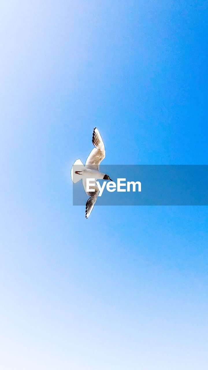 vertebrate, flying, bird, sky, spread wings, animal, low angle view, animals in the wild, animal wildlife, one animal, animal themes, clear sky, no people, copy space, white color, day, nature, blue, mid-air, seagull