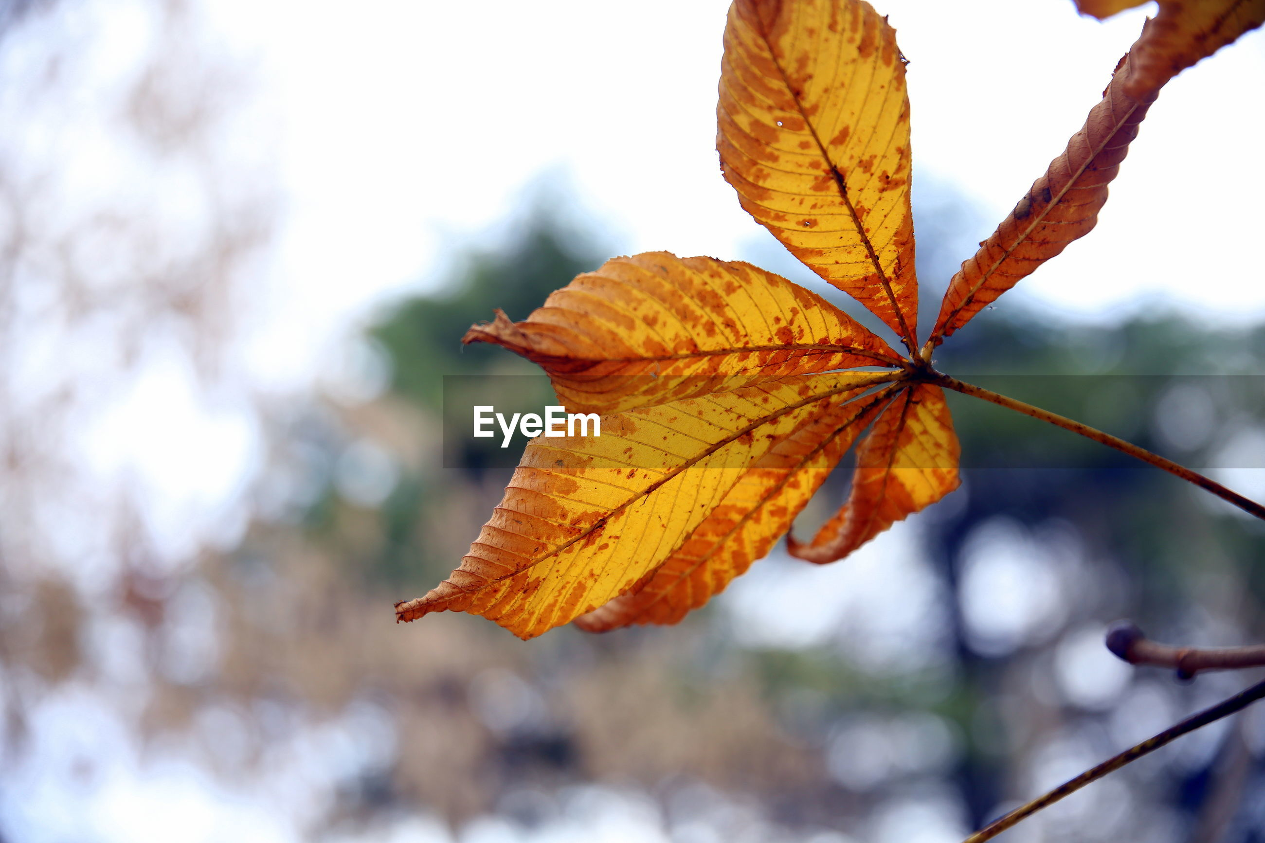 Close-up of yellow maple leaf on tree