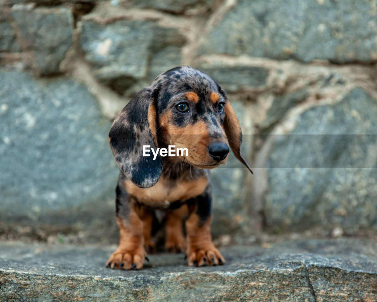 one animal, mammal, animal themes, animal, dog, canine, domestic animals, pets, domestic, rock - object, rock, solid, day, no people, looking, focus on foreground, looking away, vertebrate, dachshund, portrait