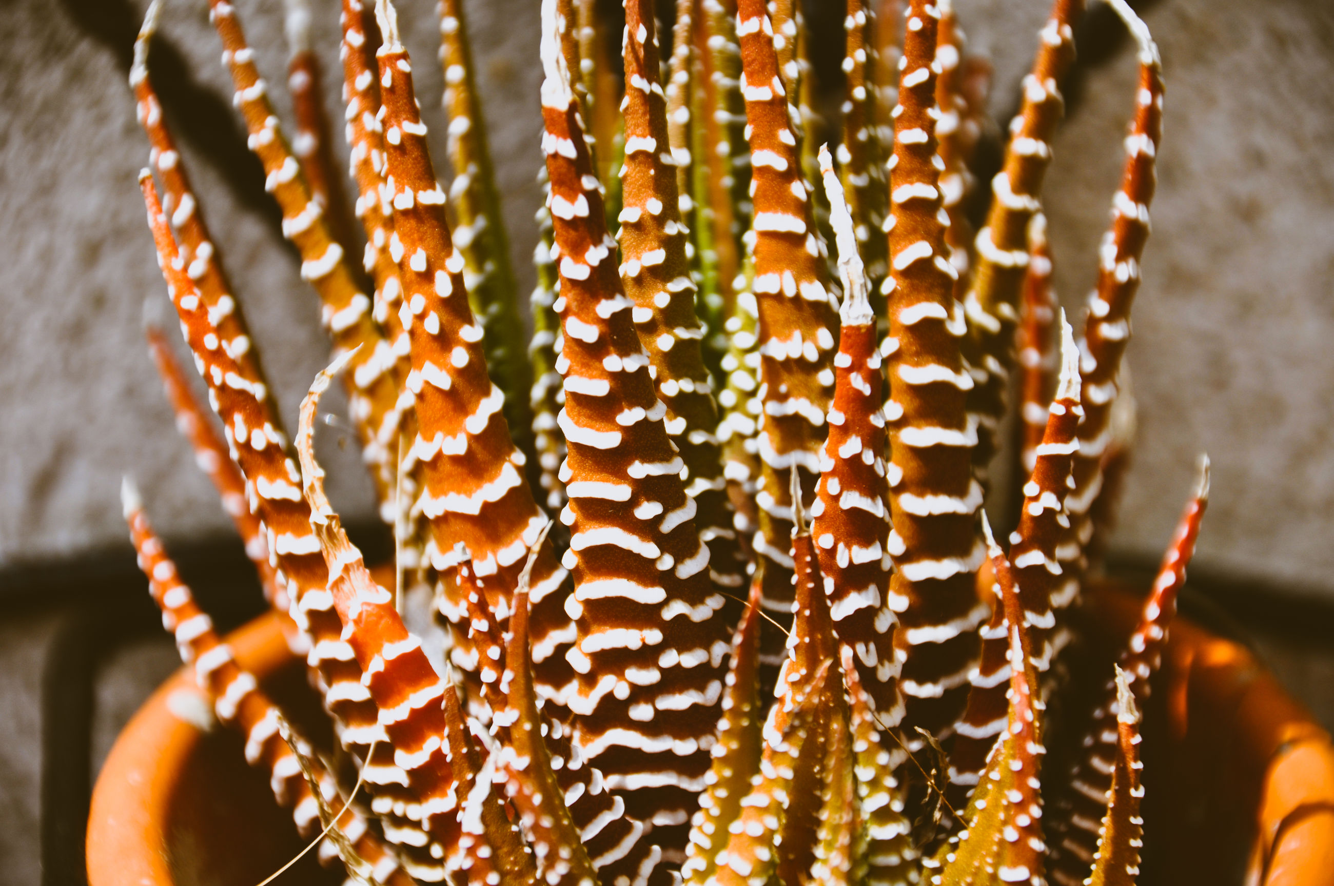 Close-up of succulent plant on the for sale