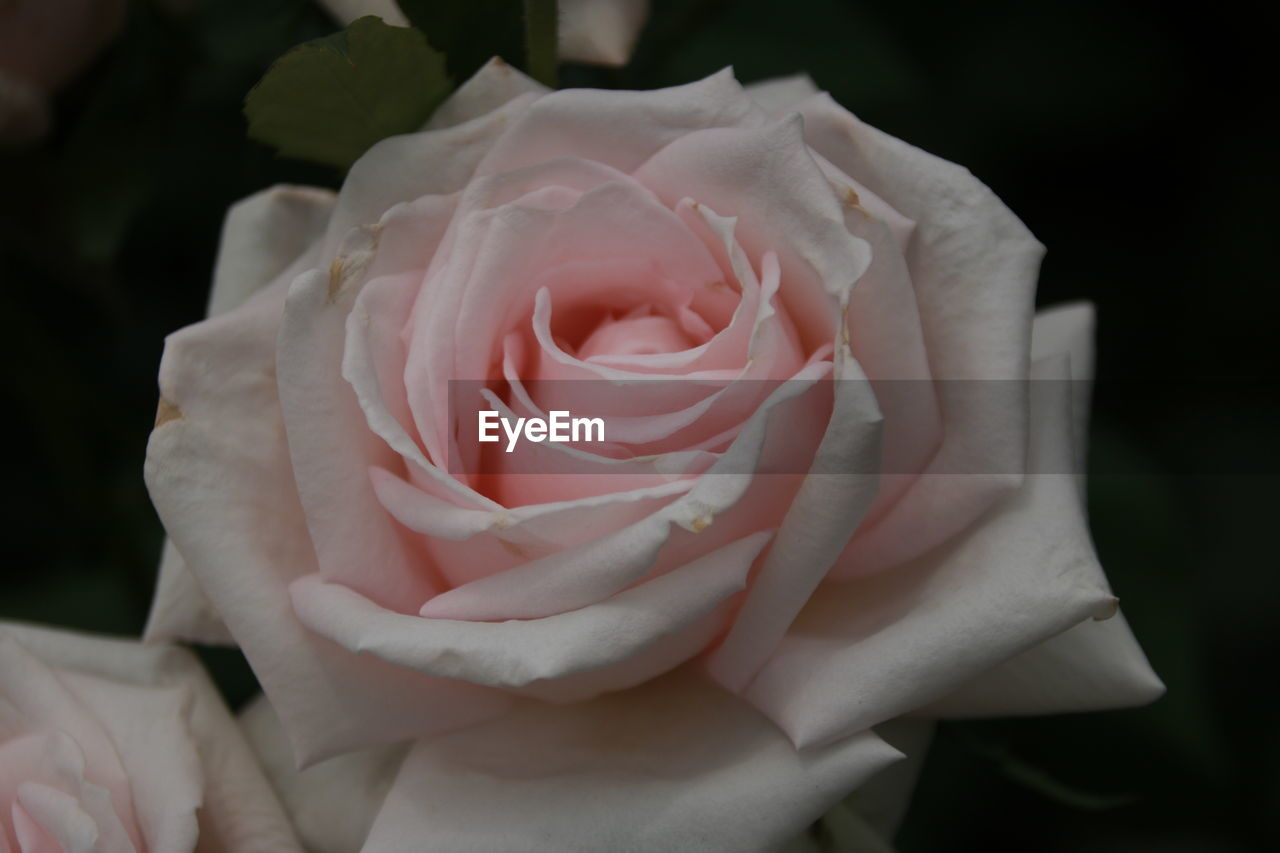 flowering plant, rose, flower, rose - flower, petal, beauty in nature, plant, vulnerability, inflorescence, close-up, fragility, flower head, freshness, growth, pink color, no people, nature, focus on foreground, black background, softness
