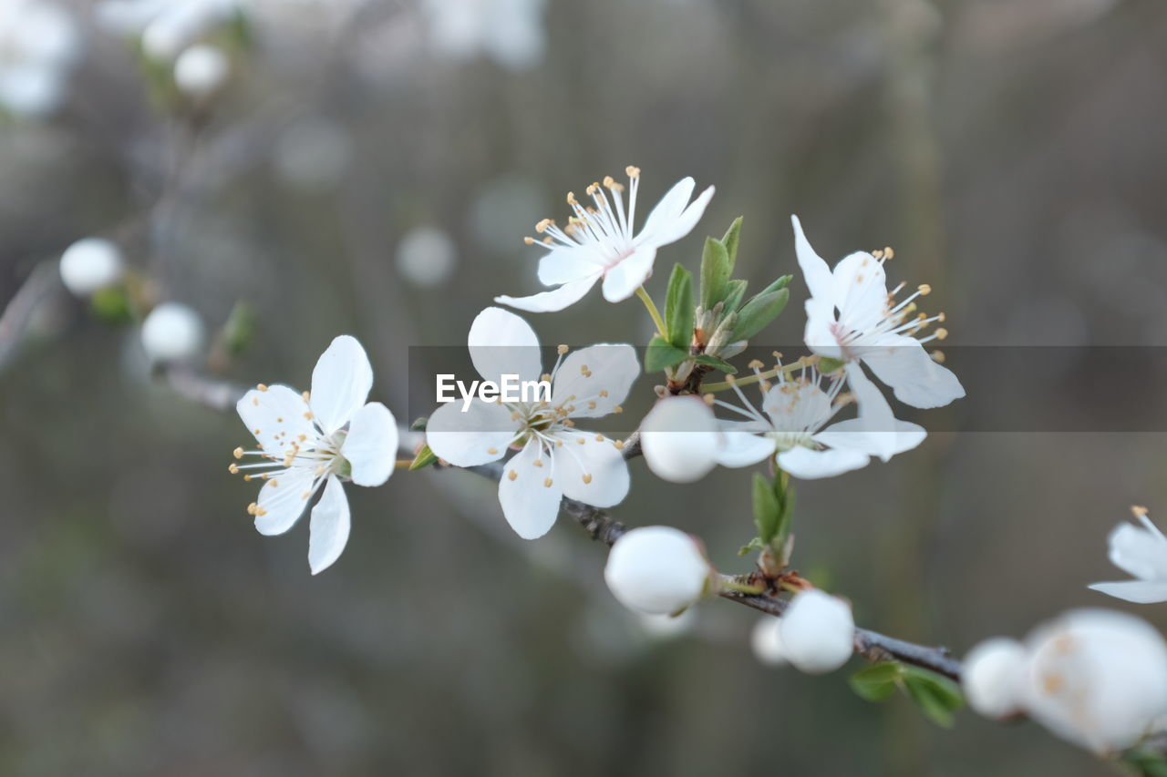 white color, flower, beauty in nature, nature, fragility, growth, blossom, freshness, day, petal, springtime, no people, branch, tree, outdoors, close-up, flower head