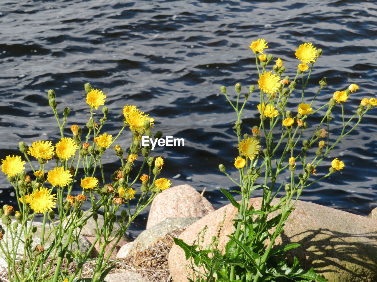 water, nature, flower, rock - object, yellow, no people, plant, day, outdoors, sunlight, growth, tranquility, lake, beauty in nature, close-up, fragility, freshness, flower head