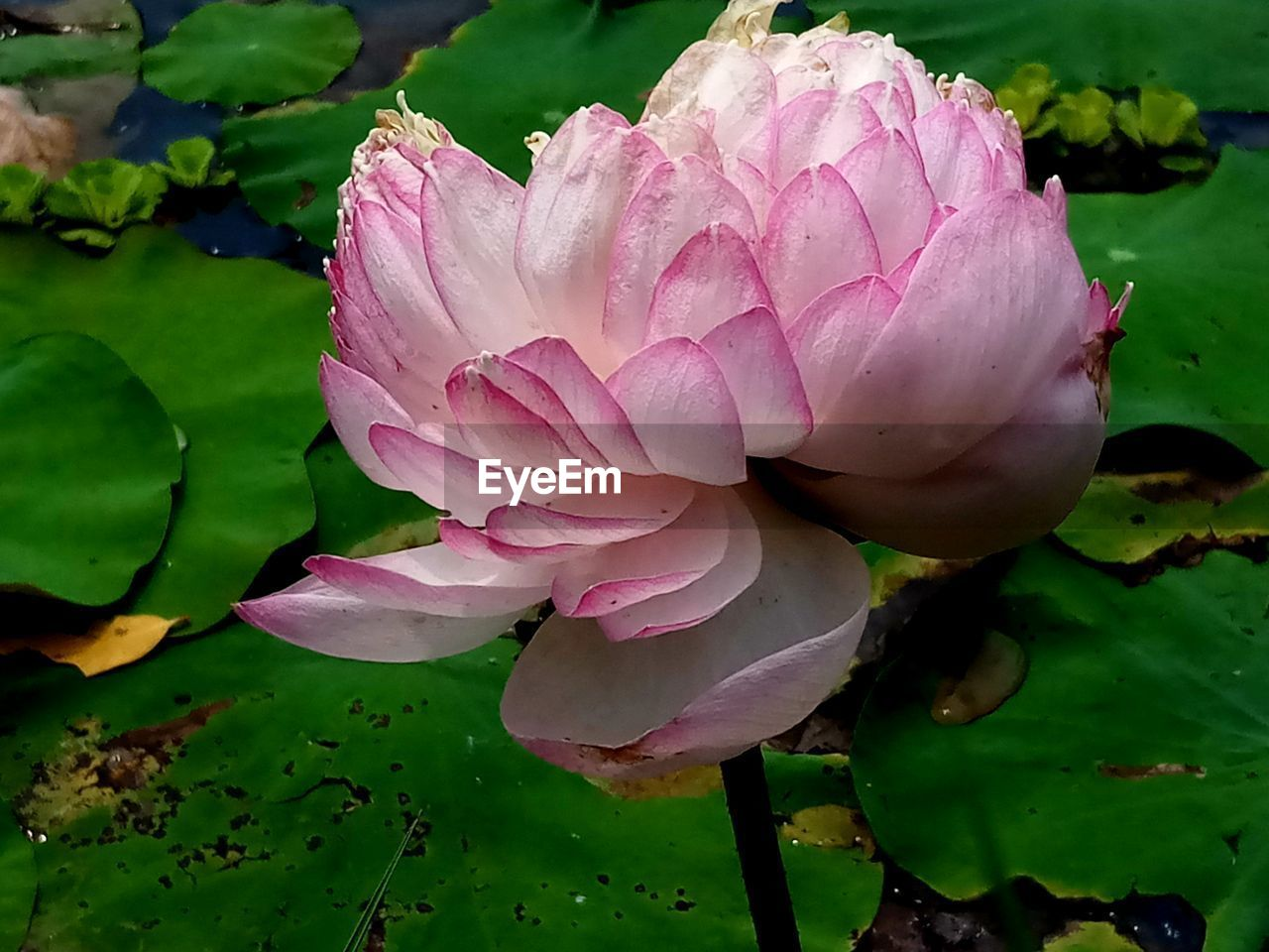 flower, beauty in nature, pink color, flowering plant, plant, fragility, vulnerability, petal, freshness, flower head, inflorescence, close-up, growth, water lily, nature, water, leaf, lake, plant part, no people, lotus water lily