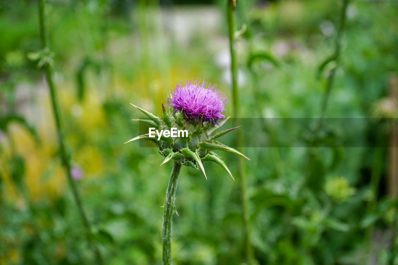 flower, flowering plant, plant, beauty in nature, fragility, freshness, vulnerability, growth, close-up, flower head, inflorescence, nature, focus on foreground, purple, green color, petal, field, plant stem, day, no people, outdoors, sepal