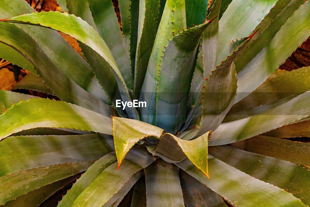 green color, growth, leaf, plant, plant part, no people, nature, close-up, day, succulent plant, beauty in nature, aloe vera plant, full frame, outdoors, field, cactus, high angle view, natural pattern, backgrounds, sunlight