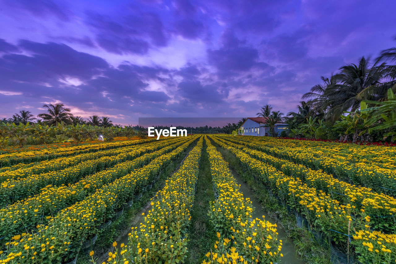 VIEW OF YELLOW FLOWERING PLANTS ON FIELD AGAINST SKY
