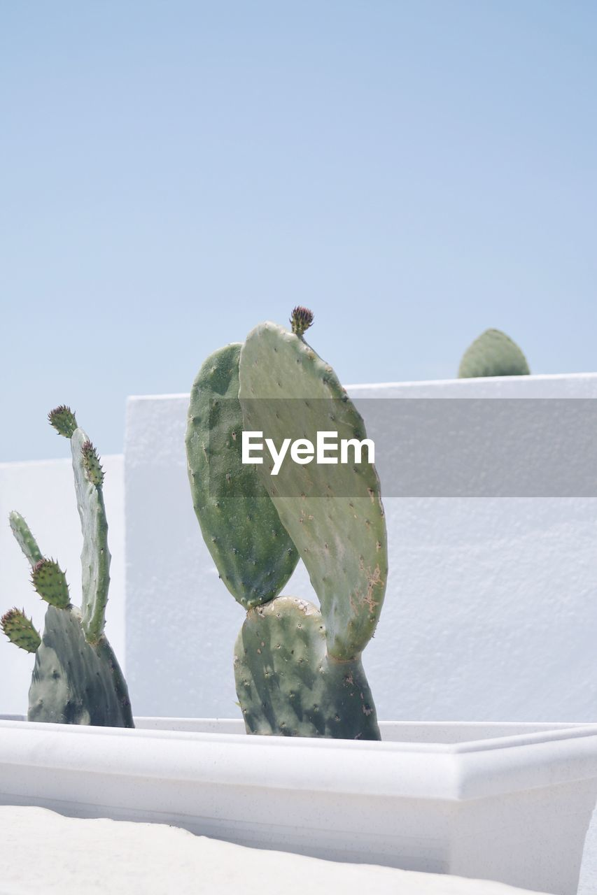 Close-up of cactus against clear sky