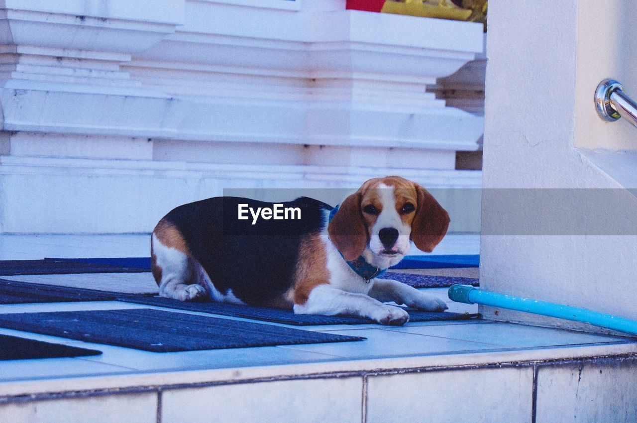 one animal, mammal, domestic, dog, canine, pets, domestic animals, vertebrate, no people, day, relaxation, portrait, looking at camera, lying down, focus on foreground, beagle, outdoors, jack russell terrier