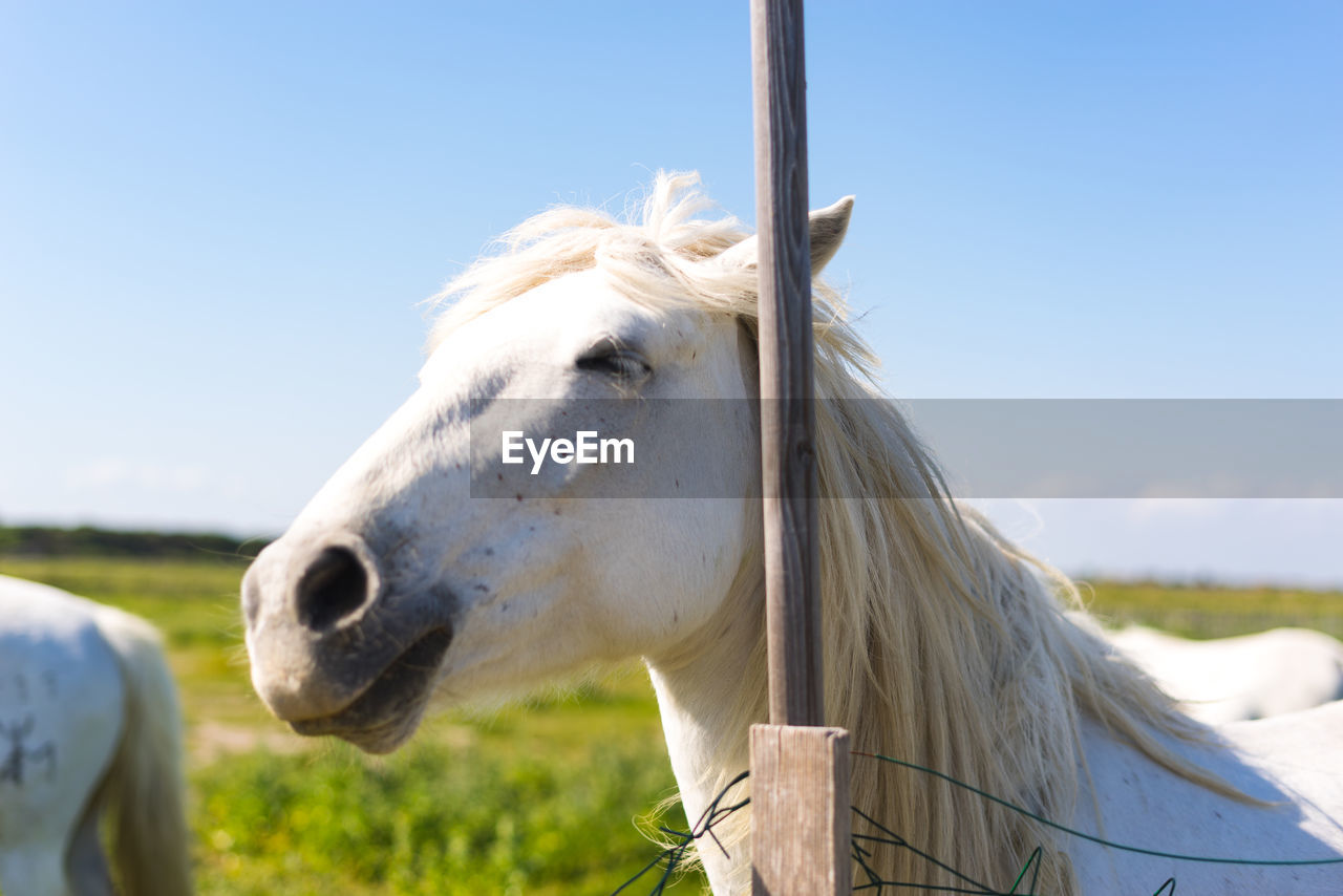 livestock, domestic, domestic animals, mammal, animal themes, animal, horse, pets, sky, vertebrate, one animal, animal wildlife, field, day, nature, white color, focus on foreground, clear sky, outdoors, no people, herbivorous, animal head, ranch