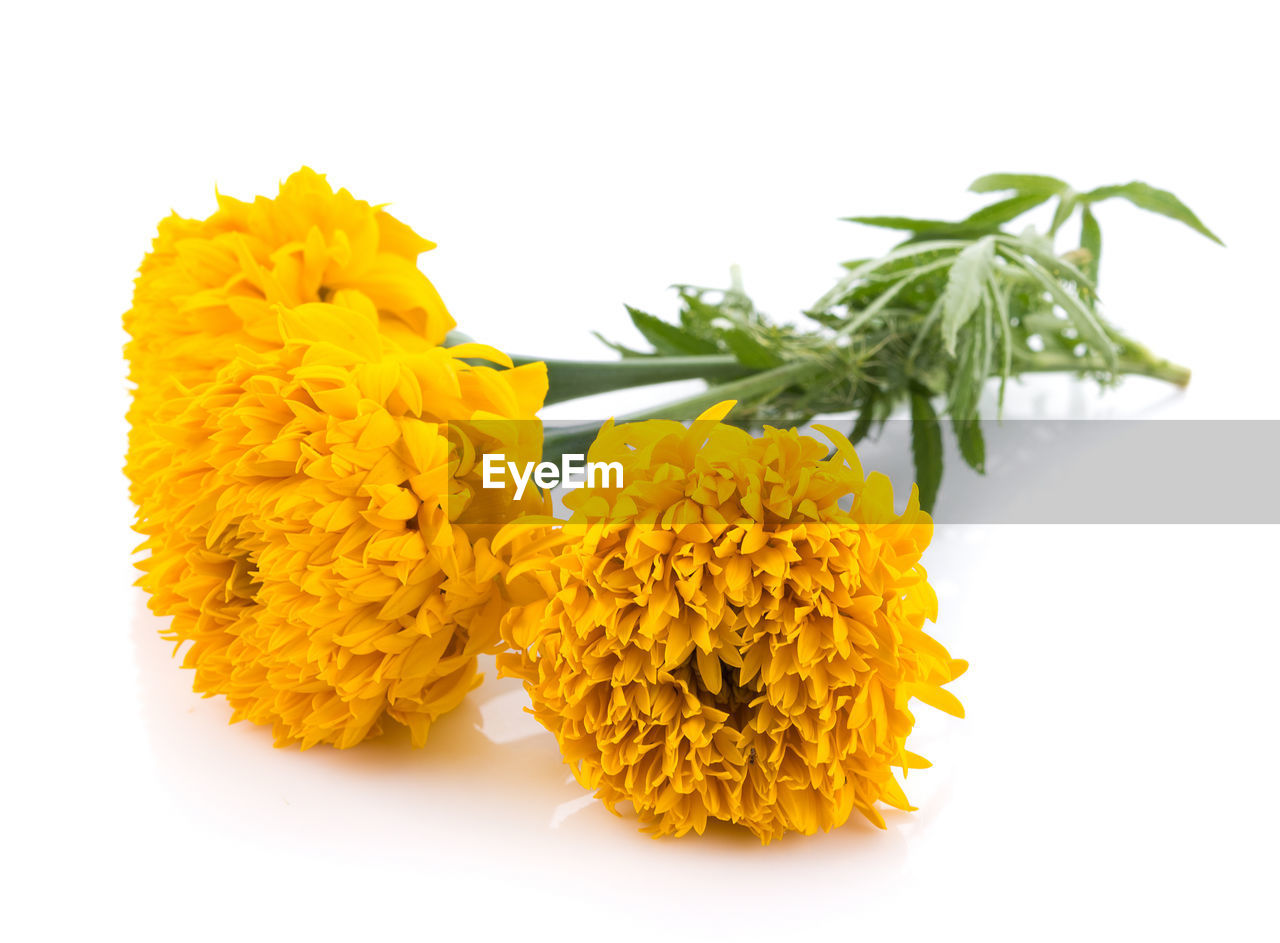 yellow, white background, flower, freshness, studio shot, plant, vulnerability, flowering plant, close-up, flower head, fragility, petal, inflorescence, marigold, beauty in nature, indoors, nature, no people, still life, green color, bunch of flowers