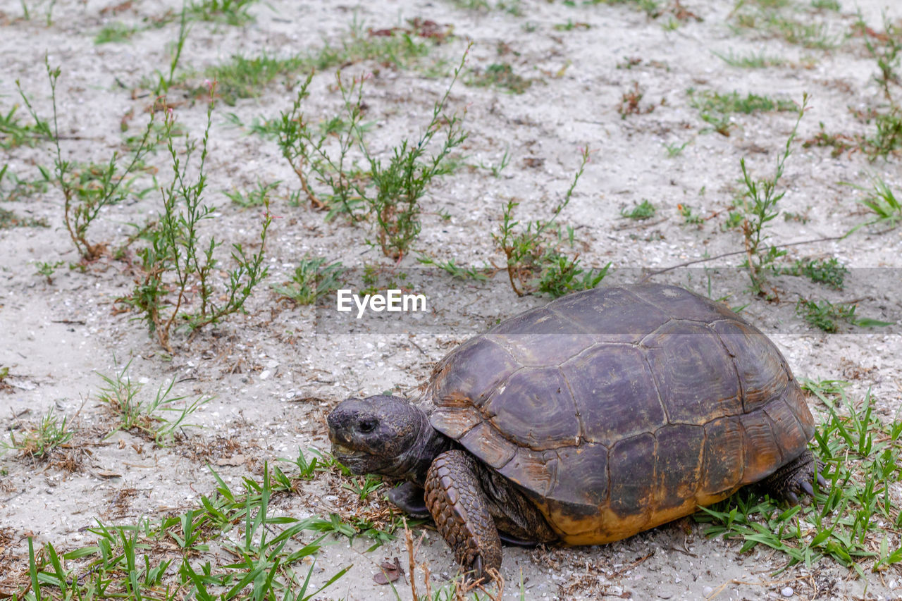 turtle, animal themes, animal wildlife, one animal, animal, reptile, animals in the wild, tortoise, vertebrate, nature, animal shell, land, shell, tortoise shell, no people, day, plant, field, high angle view, outdoors, marine