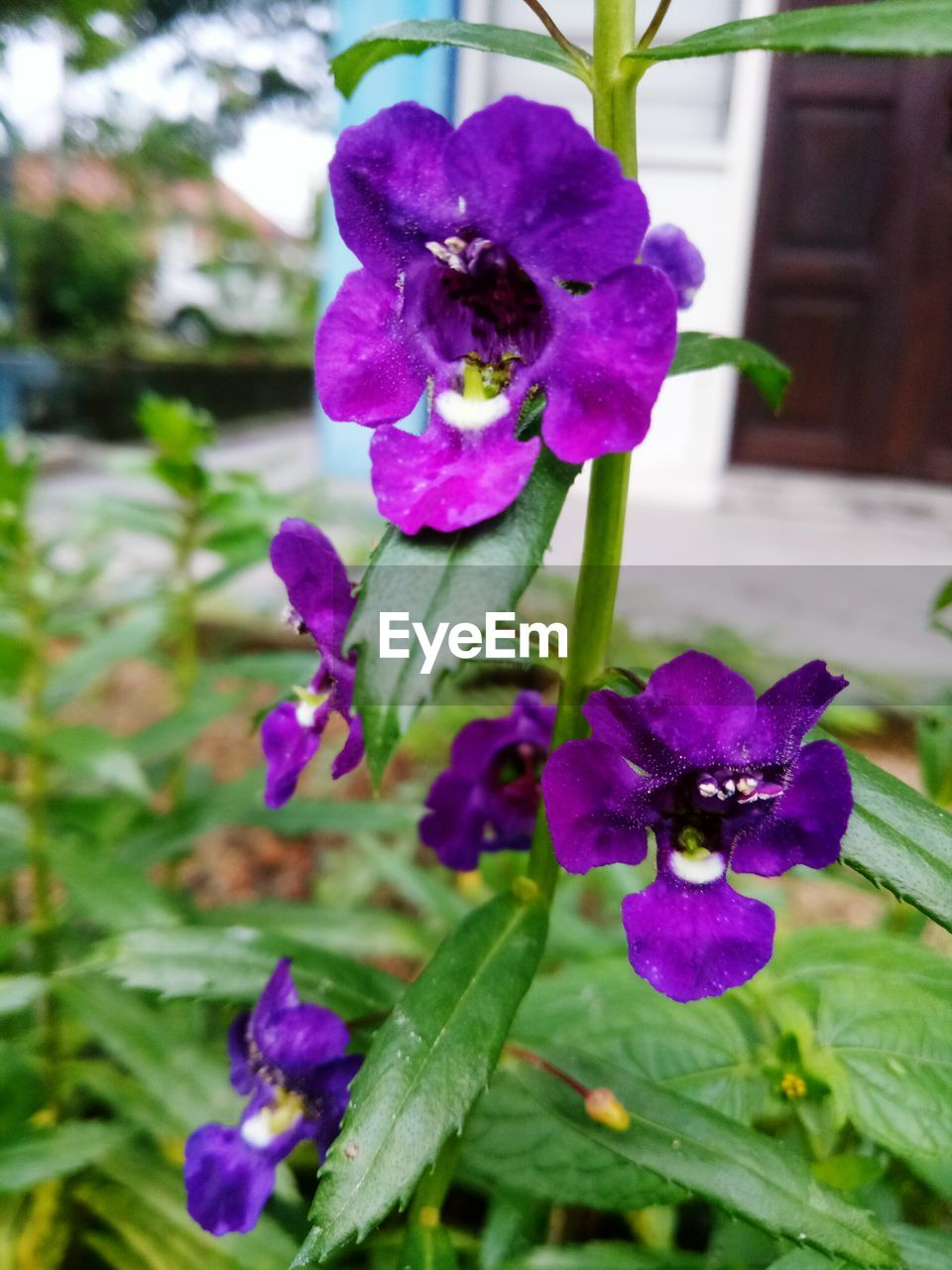 flower, purple, petal, fragility, beauty in nature, growth, freshness, nature, flower head, day, outdoors, plant, no people, close-up, blooming, petunia