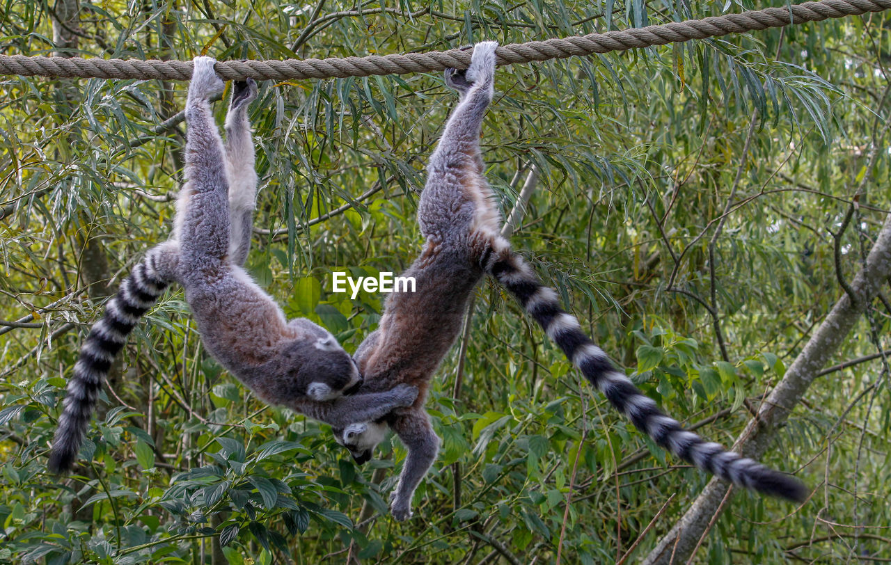 no people, hanging, plant, nature, day, tree, metal, animal wildlife, primate, rope, outdoors, land, animal, focus on foreground, animal themes, animals in the wild, fence, monkey, boundary, barrier