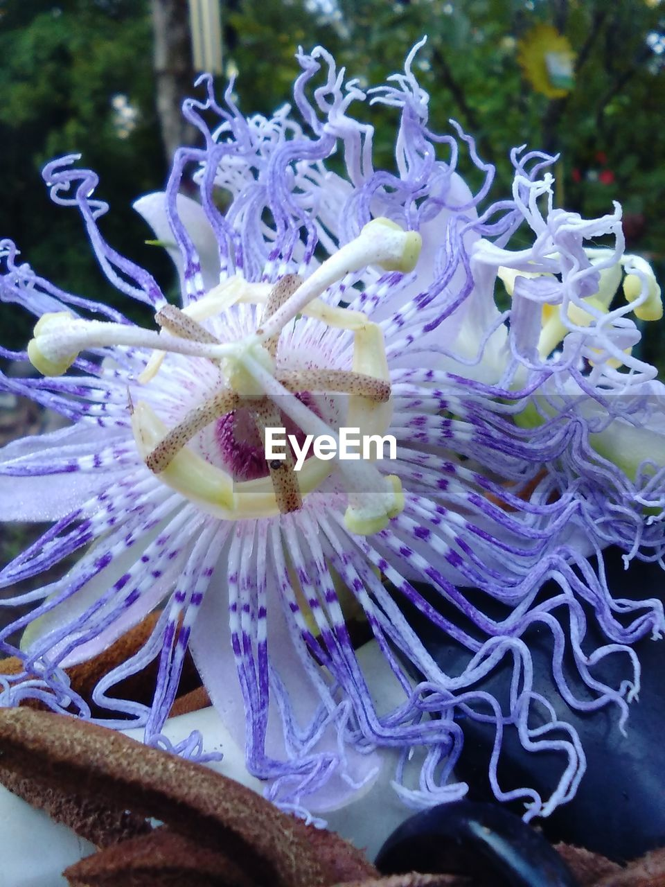 flower, fragility, petal, purple, freshness, nature, flower head, beauty in nature, no people, close-up, growth, day, outdoors, passion flower, blooming