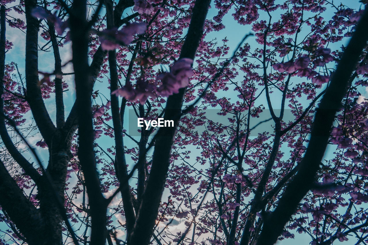 tree, plant, branch, beauty in nature, low angle view, nature, growth, no people, flowering plant, flower, tranquility, day, outdoors, pink color, trunk, blossom, tree trunk, sky, forest, fragility, spring, cherry blossom