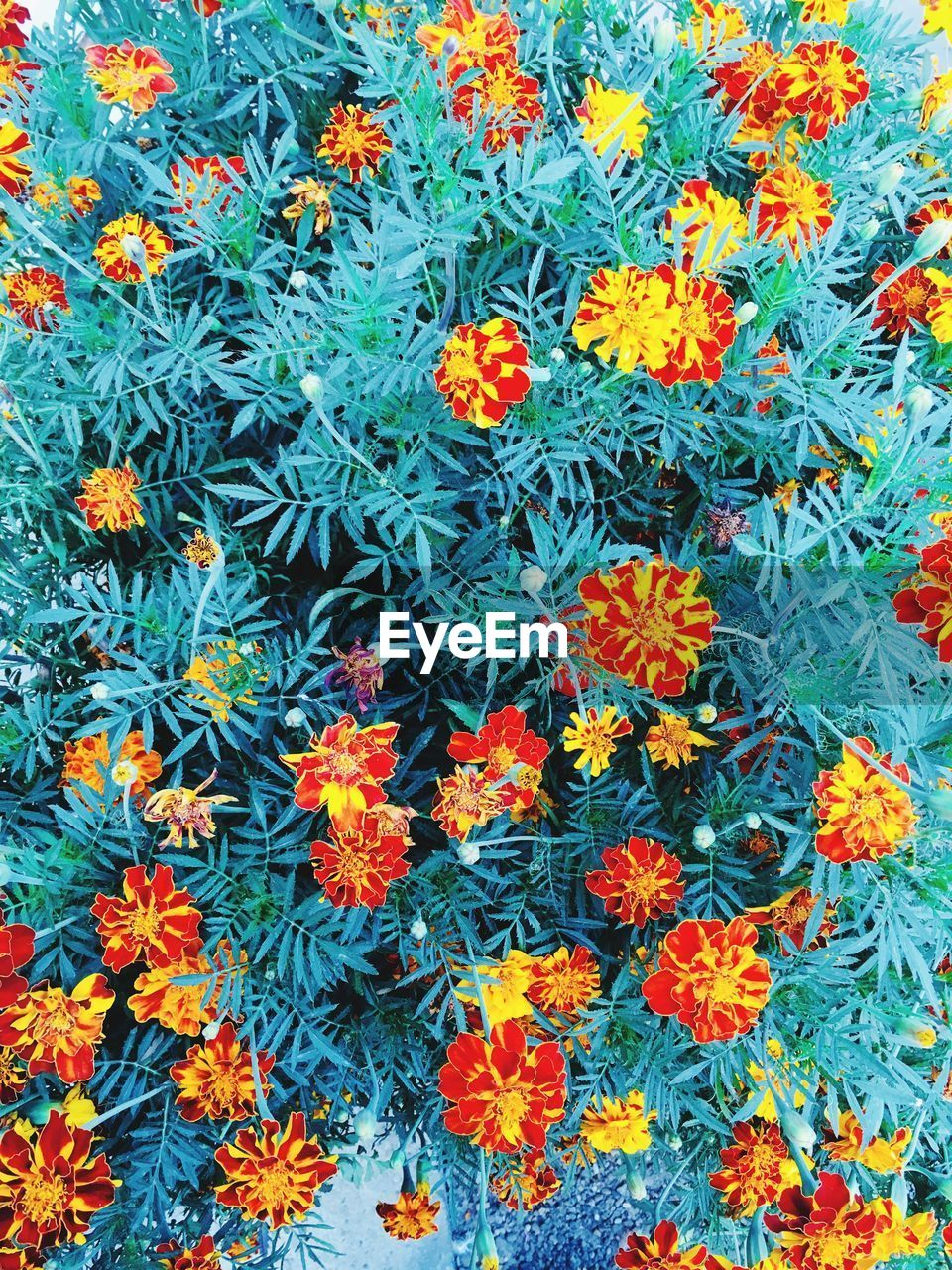 flower, plant, flowering plant, orange color, growth, freshness, no people, beauty in nature, full frame, fragility, nature, backgrounds, vulnerability, close-up, day, flower head, petal, healthcare and medicine, inflorescence, high angle view, flowerbed