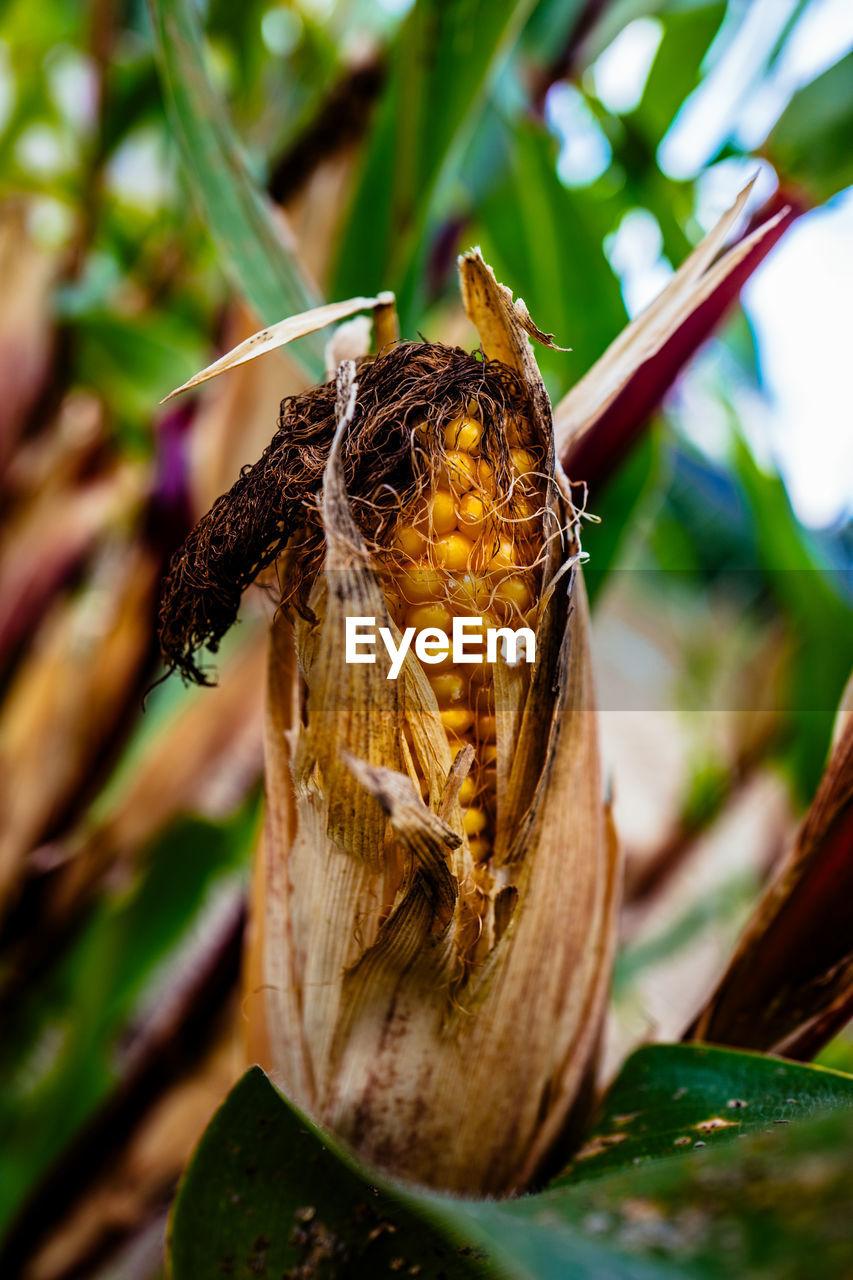 Close-up of corncob