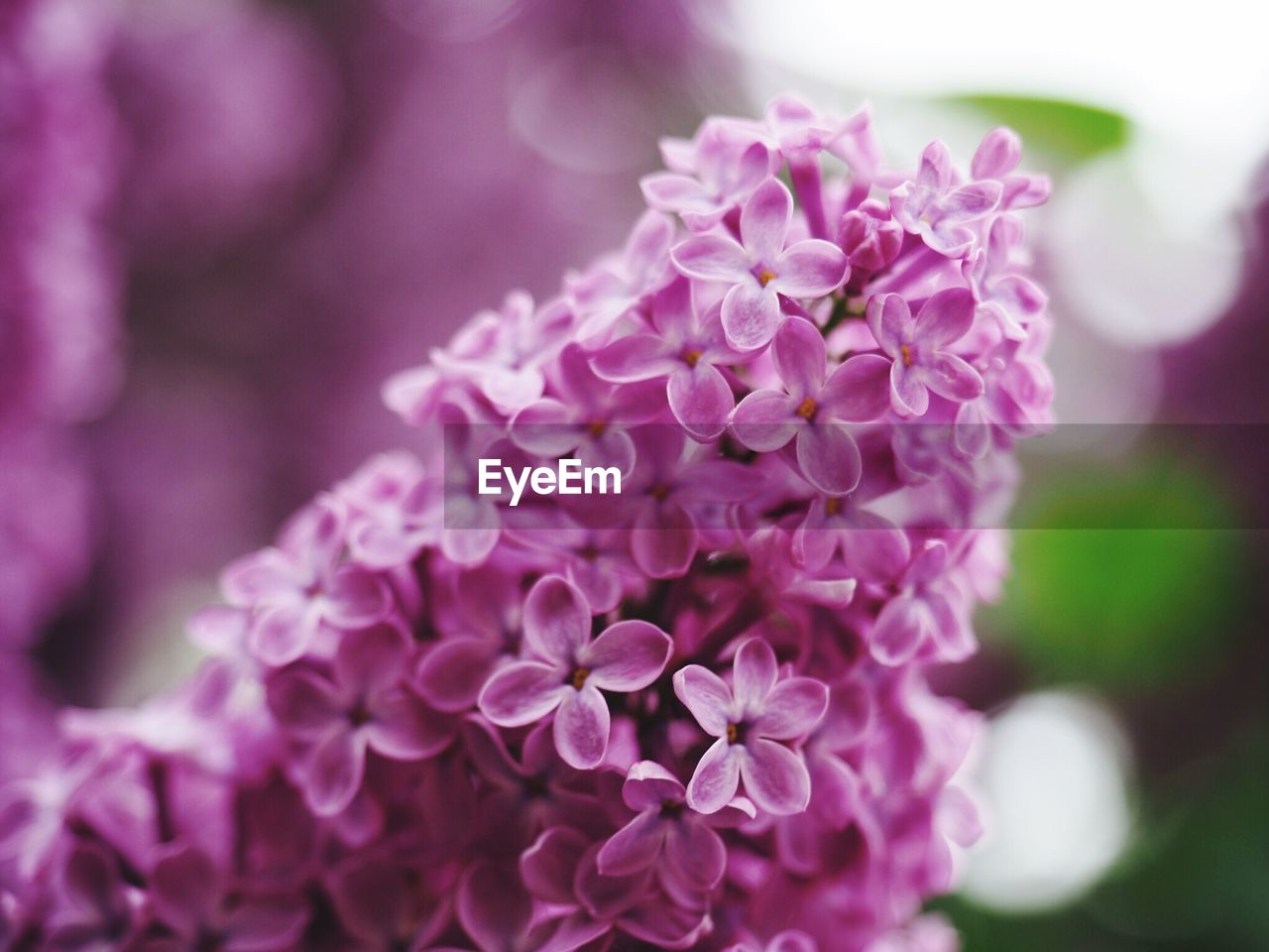 flower, beauty in nature, nature, fragility, petal, purple, focus on foreground, freshness, close-up, growth, plant, outdoors, flower head, day, no people, blooming, lilac
