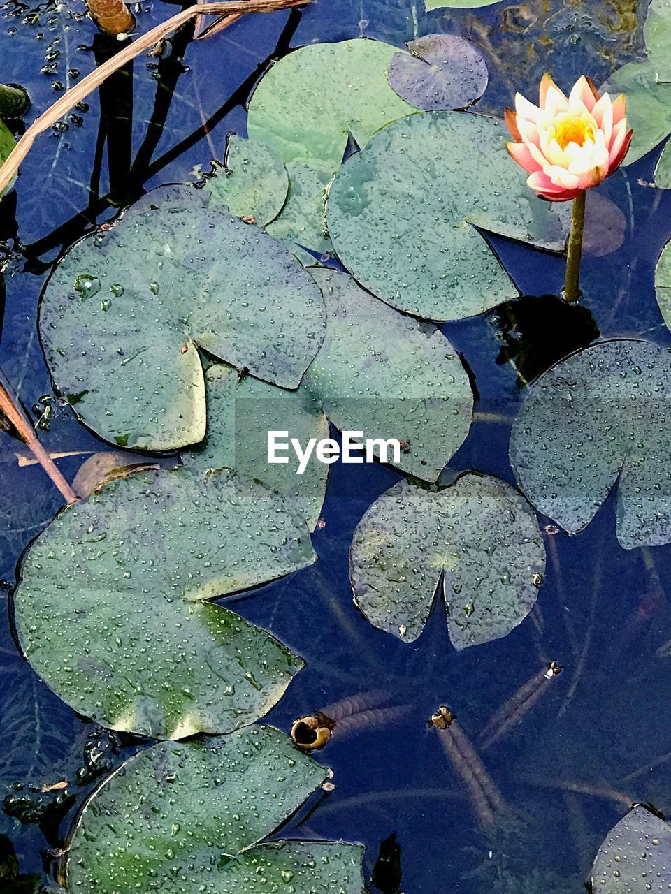 flower, plant, floating, water lily, floating on water, beauty in nature, nature, flowering plant, lake, leaf, green color, plant part, high angle view, freshness, growth, day, water, no people, close-up, flower head, outdoors, lotus water lily, leaves