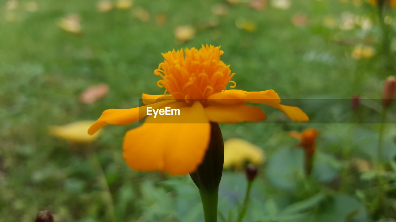 flower, petal, growth, fragility, flower head, beauty in nature, freshness, nature, yellow, blooming, plant, focus on foreground, outdoors, close-up, day, no people