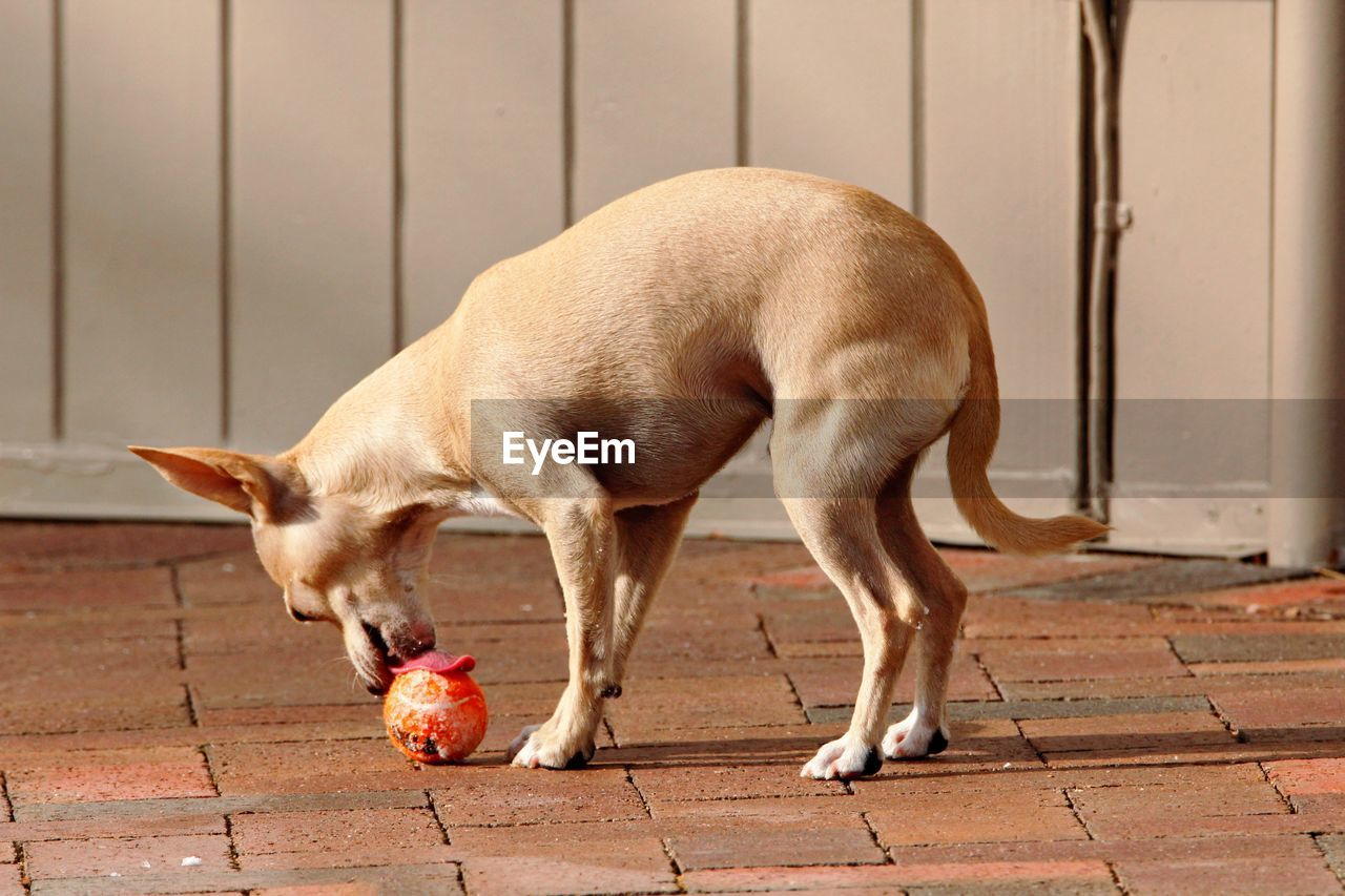 Playful Chihuahua With Ball On Street