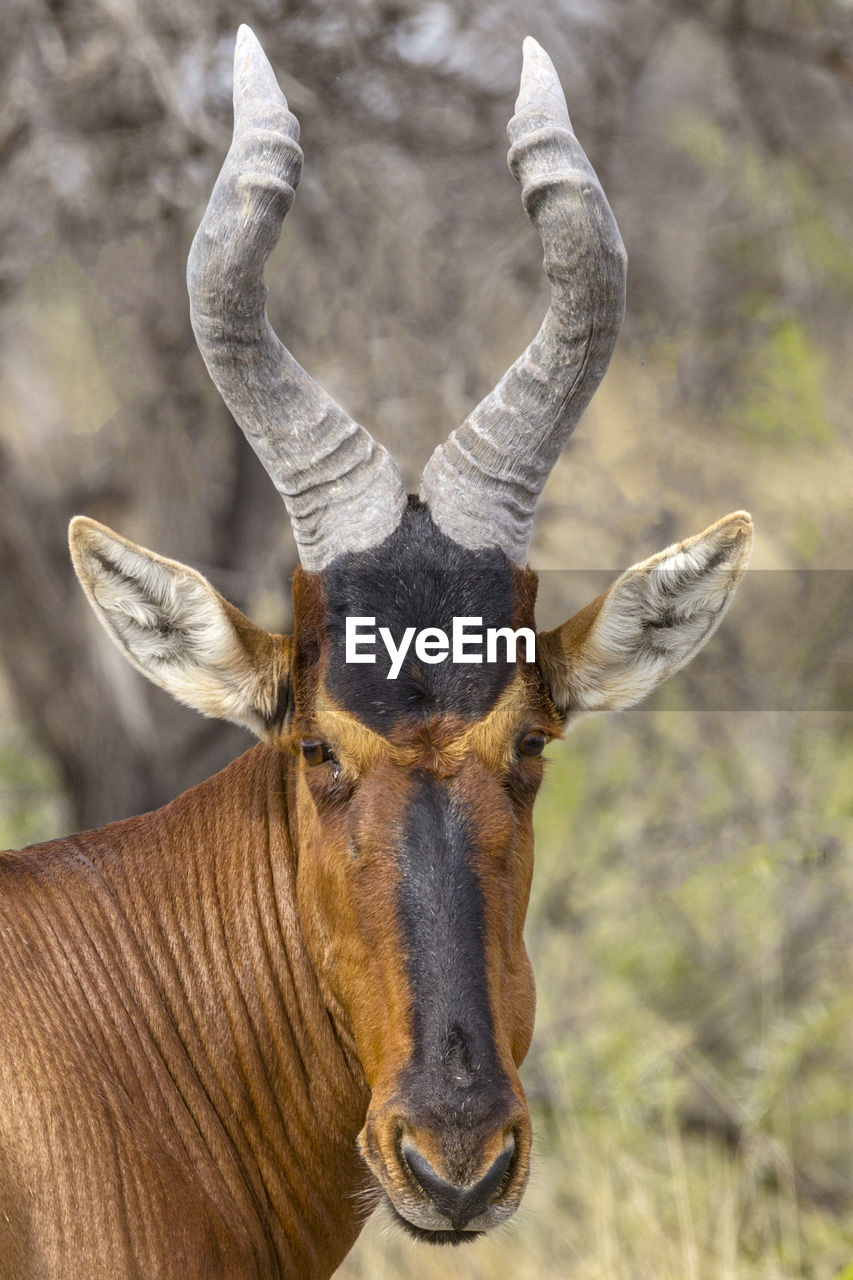 animal, animal themes, animal wildlife, mammal, one animal, focus on foreground, domestic animals, animals in the wild, vertebrate, herbivorous, day, close-up, nature, horned, animal body part, portrait, animal head, no people, looking at camera, land, outdoors