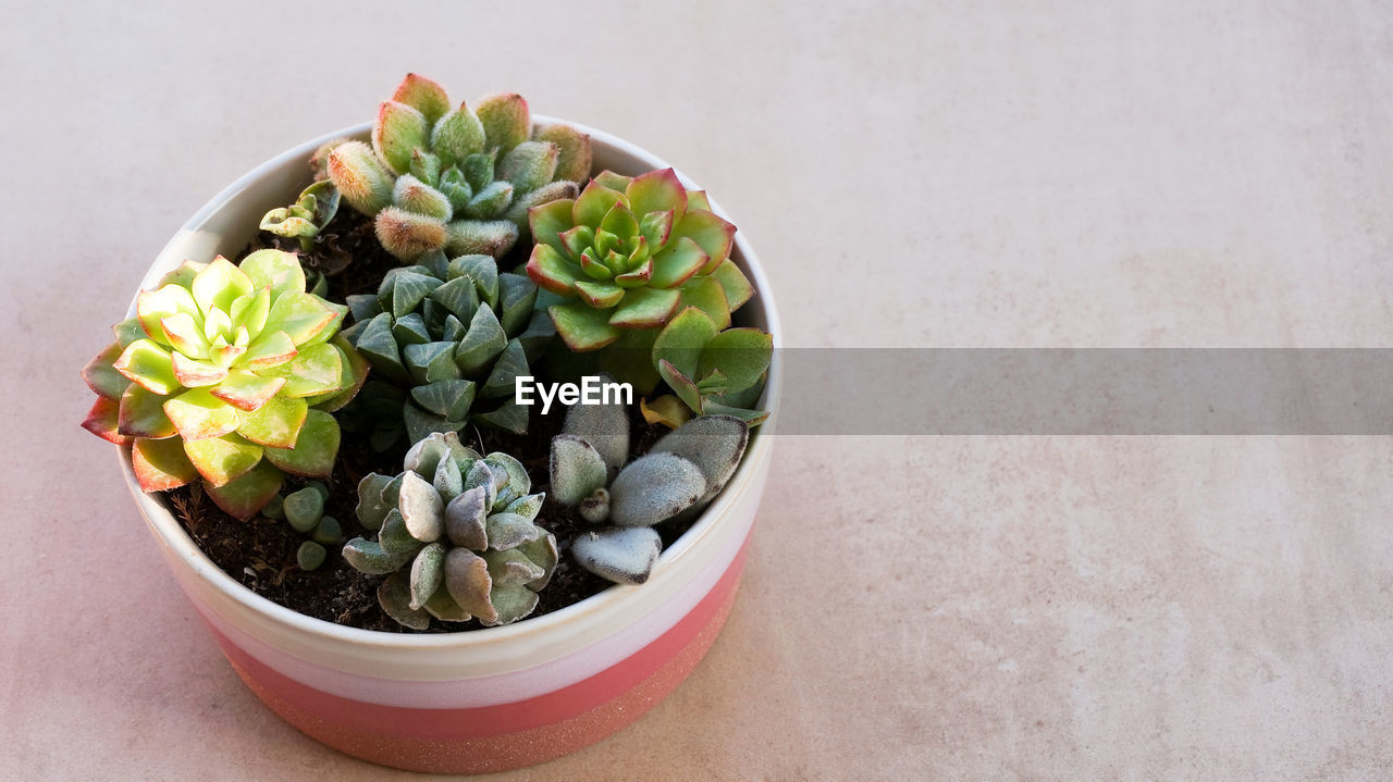 HIGH ANGLE VIEW OF SUCCULENT PLANT IN BOWL