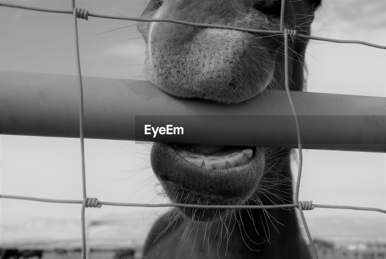 mammal, one animal, domestic, pets, animal body part, animal themes, animal, close-up, domestic animals, vertebrate, animal nose, focus on foreground, no people, animal head, horse, animal mouth, day, barrier, boundary, fence, herbivorous, animal teeth, snout, whisker, mouth open
