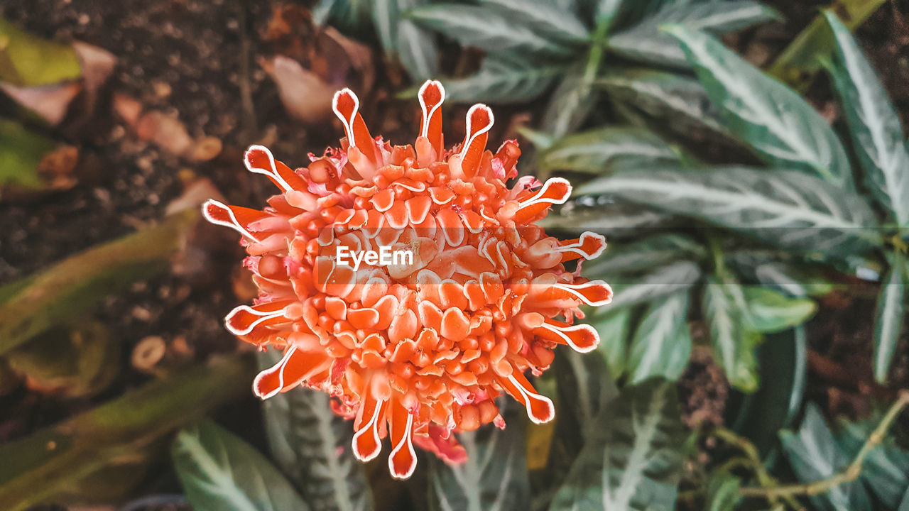 growth, plant, beauty in nature, close-up, petal, flowering plant, flower, vulnerability, inflorescence, flower head, freshness, fragility, nature, focus on foreground, day, orange color, no people, leaf, plant part, red
