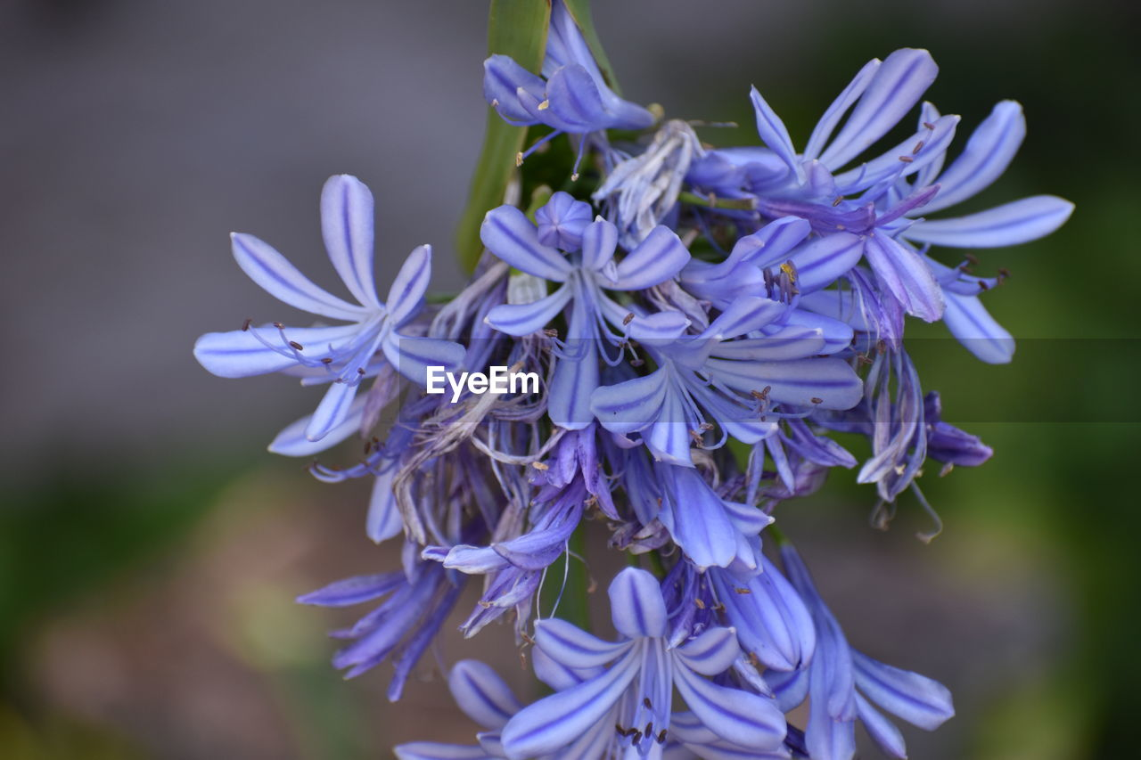 flowering plant, flower, vulnerability, fragility, petal, beauty in nature, freshness, purple, plant, inflorescence, flower head, close-up, growth, focus on foreground, nature, no people, blue, selective focus, day, botany