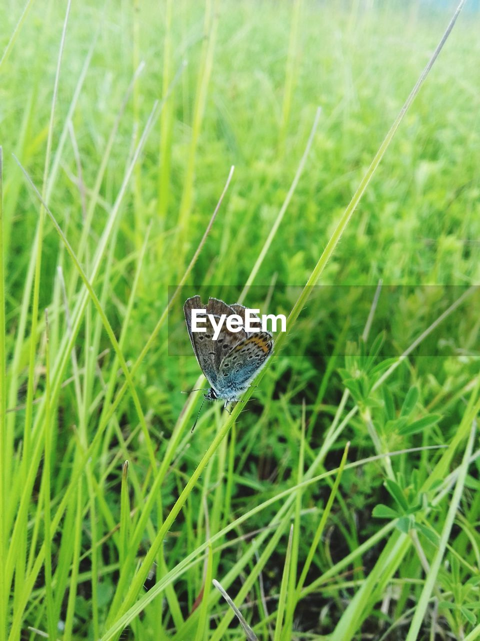 grass, plant, green color, growth, animal themes, animal wildlife, one animal, animal, nature, invertebrate, animals in the wild, day, close-up, field, no people, beauty in nature, land, selective focus, insect, focus on foreground, animal wing, butterfly, blade of grass, butterfly - insect, dew