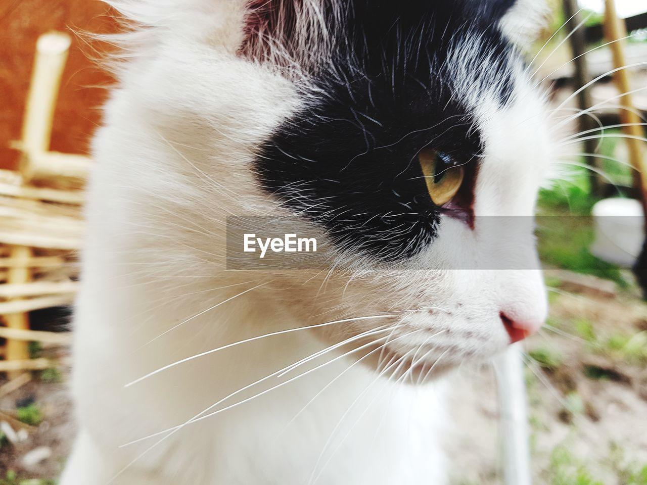 domestic, pets, domestic animals, cat, animal, mammal, animal themes, domestic cat, one animal, feline, vertebrate, close-up, focus on foreground, whisker, looking, white color, no people, looking away, animal body part, animal head, snout, animal eye