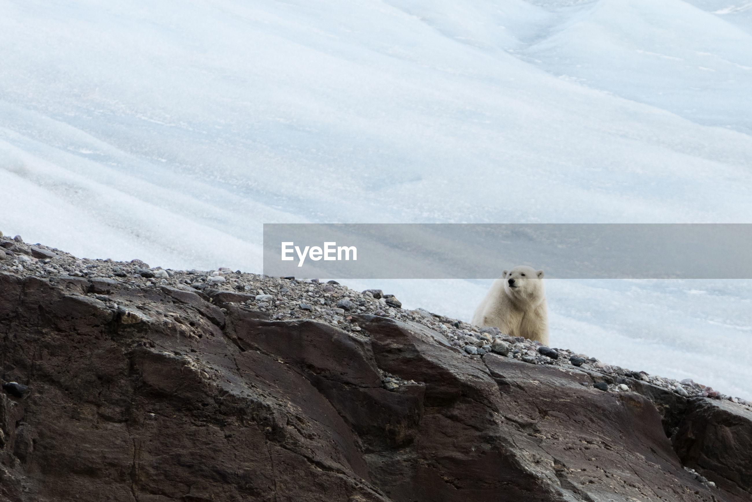 Polar bear on mountain