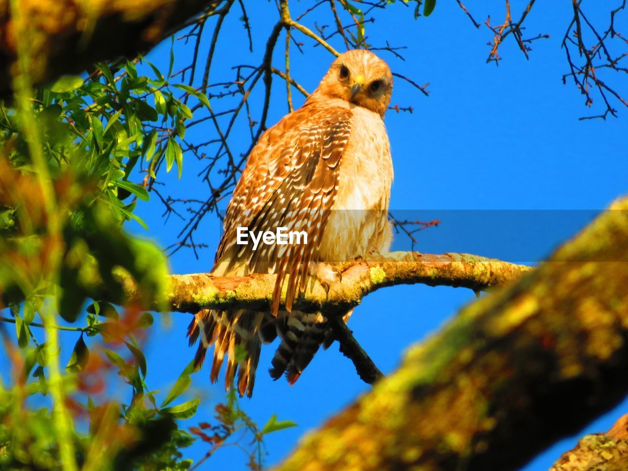 animal, bird, animal themes, animal wildlife, vertebrate, animals in the wild, perching, one animal, tree, plant, branch, low angle view, nature, selective focus, sky, bird of prey, day, no people, sunlight, outdoors, eagle