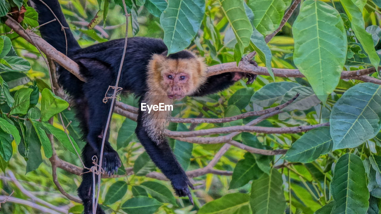 animal, animal themes, leaf, plant part, one animal, mammal, animal wildlife, plant, animals in the wild, vertebrate, branch, green color, tree, nature, looking at camera, portrait, no people, primate, outdoors, day
