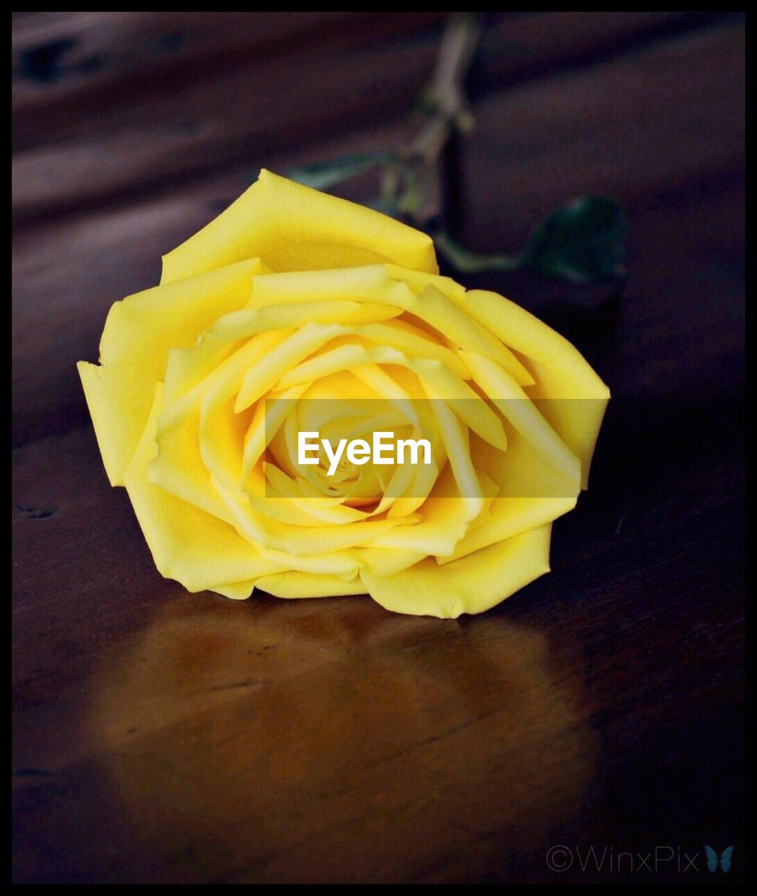 flower, petal, rose - flower, fragility, flower head, freshness, yellow, no people, close-up, beauty in nature, nature, indoors, day