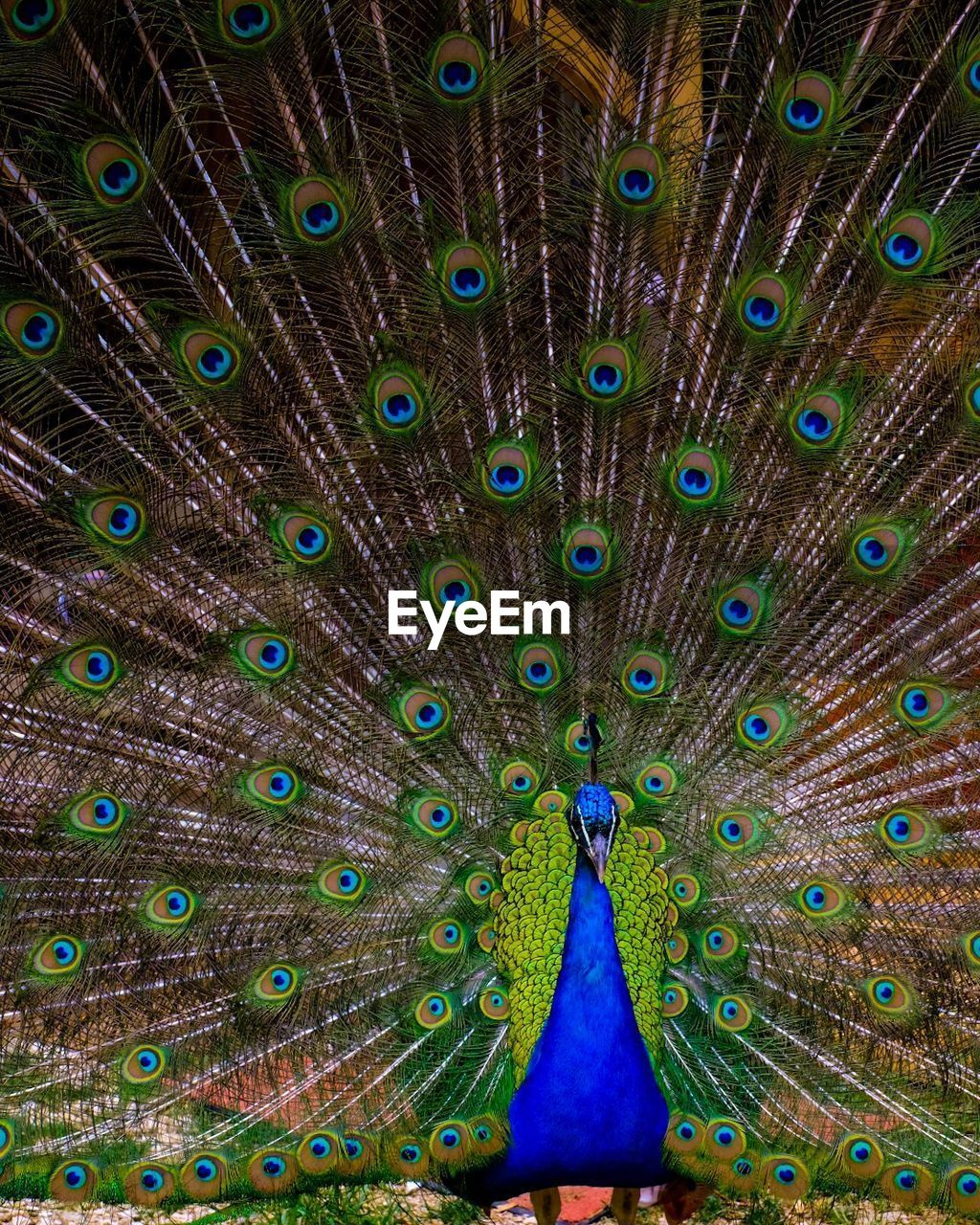 peacock, bird, peacock feather, animal themes, feather, animal, animals in the wild, one animal, animal wildlife, fanned out, vertebrate, multi colored, full frame, beauty in nature, no people, close-up, blue, green color, natural pattern, male animal, outdoors