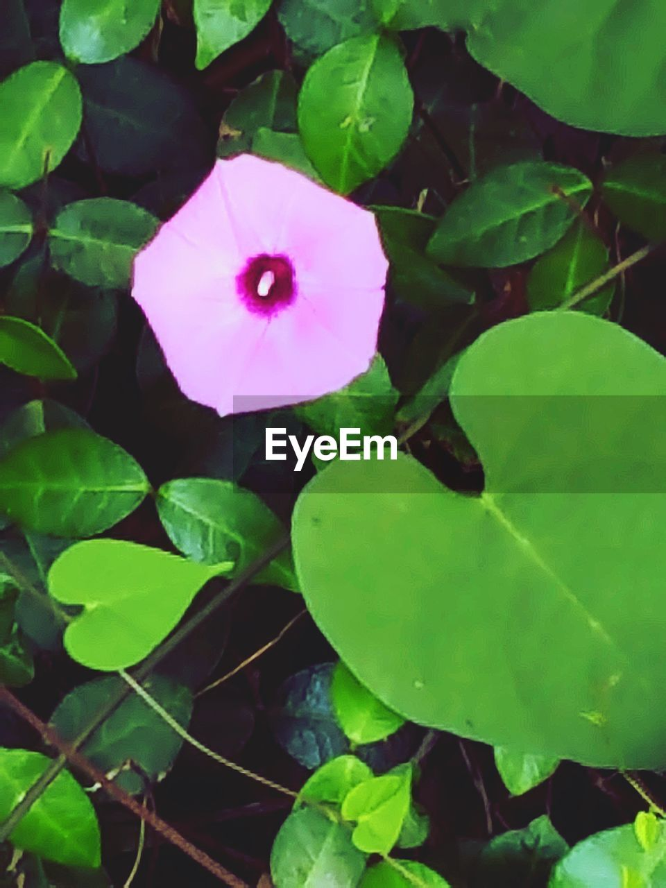 leaf, fragility, growth, flower, petal, plant, freshness, day, flower head, pink color, green color, outdoors, periwinkle, beauty in nature, no people, nature, close-up, petunia