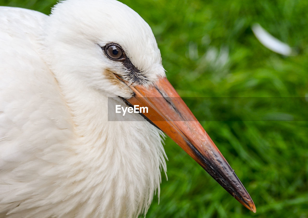 Close-Up Of Stork