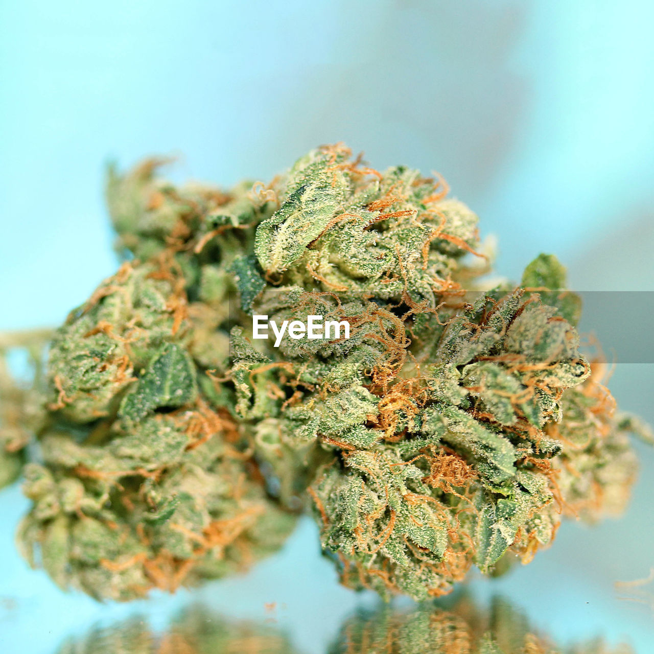marijuana - herbal cannabis, close-up, cannabis plant, healthcare and medicine, selective focus, plant, narcotic, cannabis - narcotic, indoors, no people, medicine, herb, alternative medicine, food and drink, herbal medicine, medical cannabis, green color, social issues, recreational drug, lichen