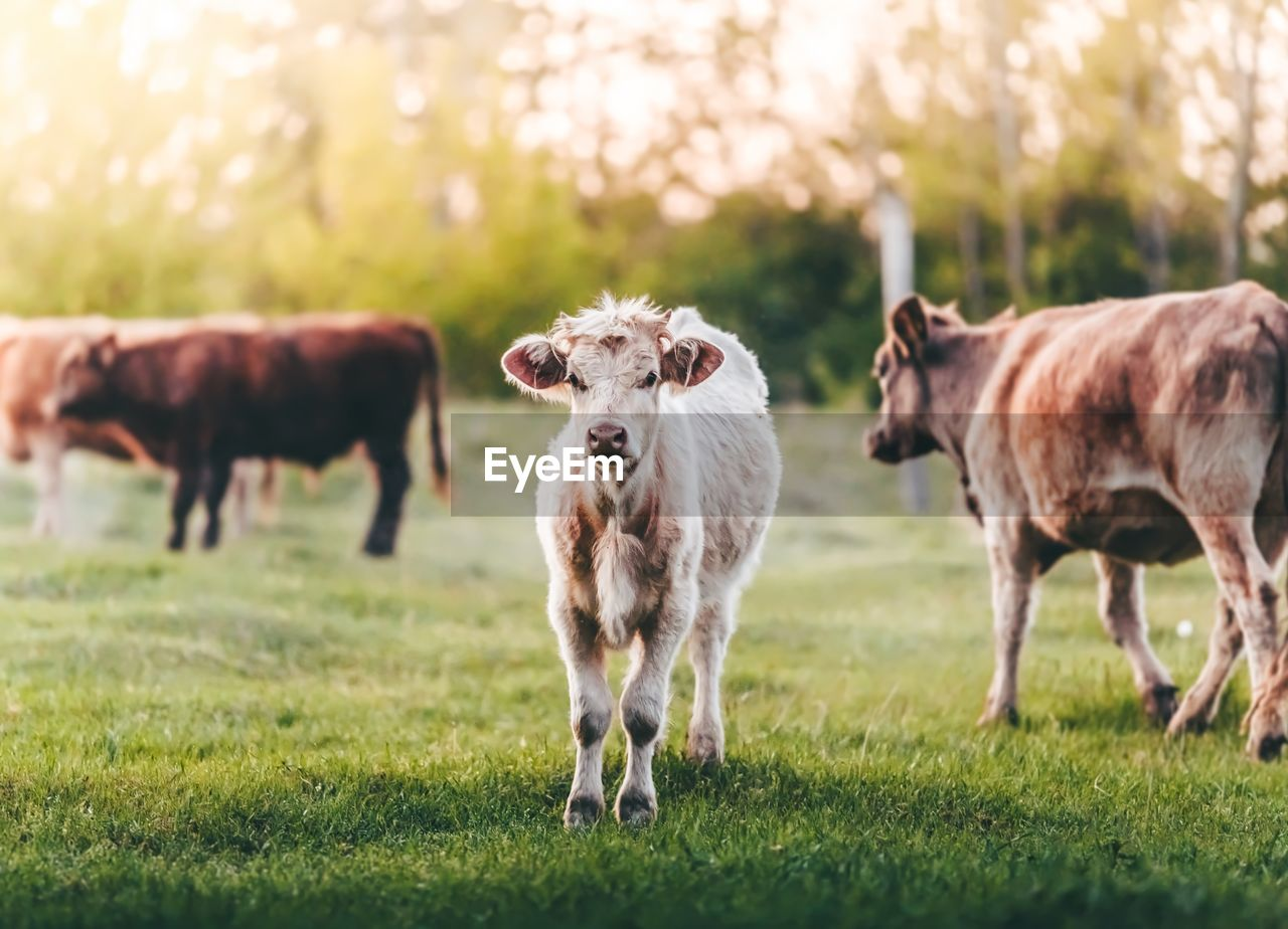 Portrait Of Cow Standing On Grassy Field