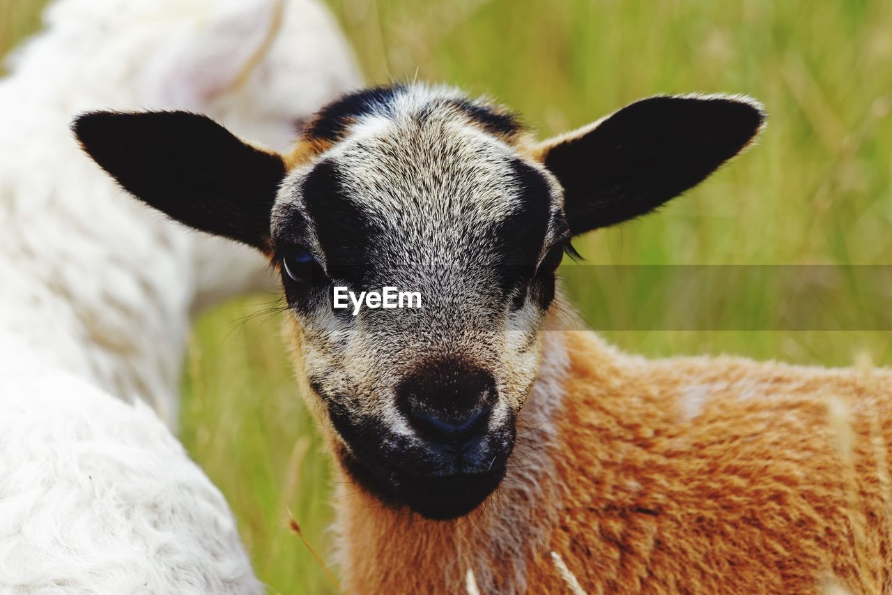 mammal, domestic animals, one animal, pets, domestic, vertebrate, portrait, livestock, looking at camera, close-up, no people, focus on foreground, day, animal body part, sheep, selective focus, herbivorous